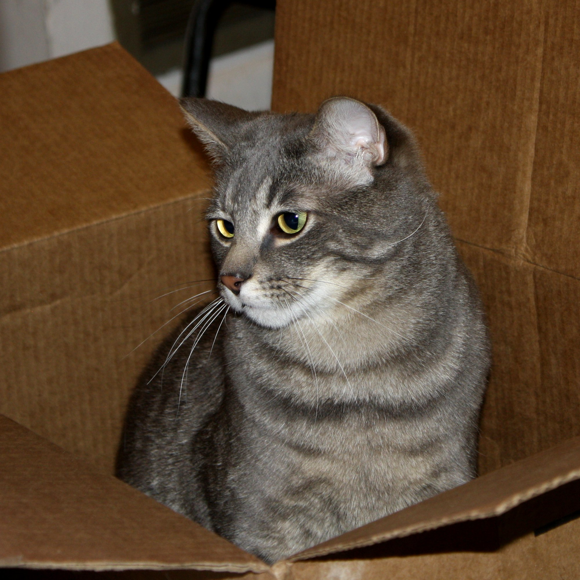 Free Photo Gray Tabby Cat Adorable Head Whiskers Free Download Jooinn
