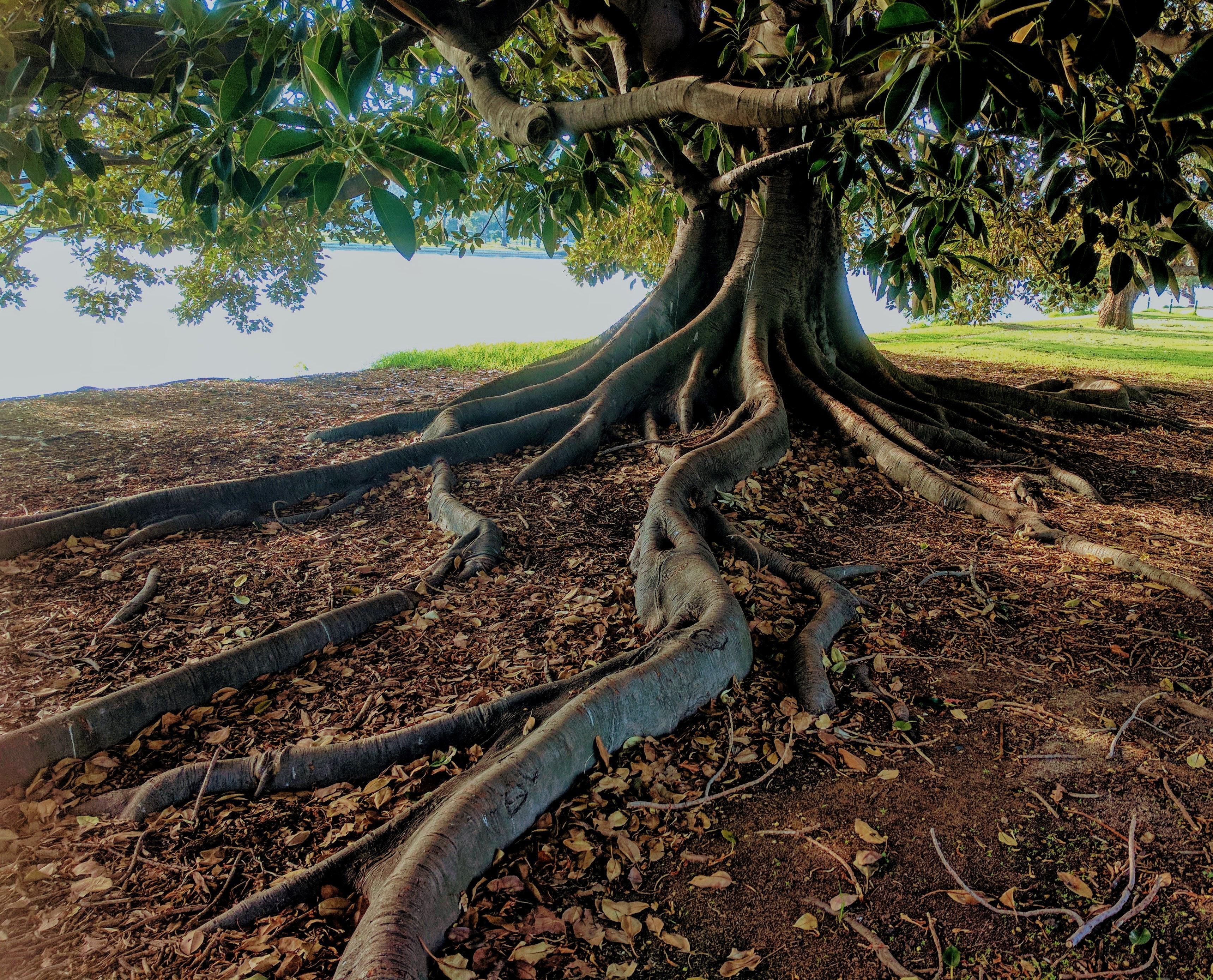 Gray trunk green leaf tree beside body of water photo