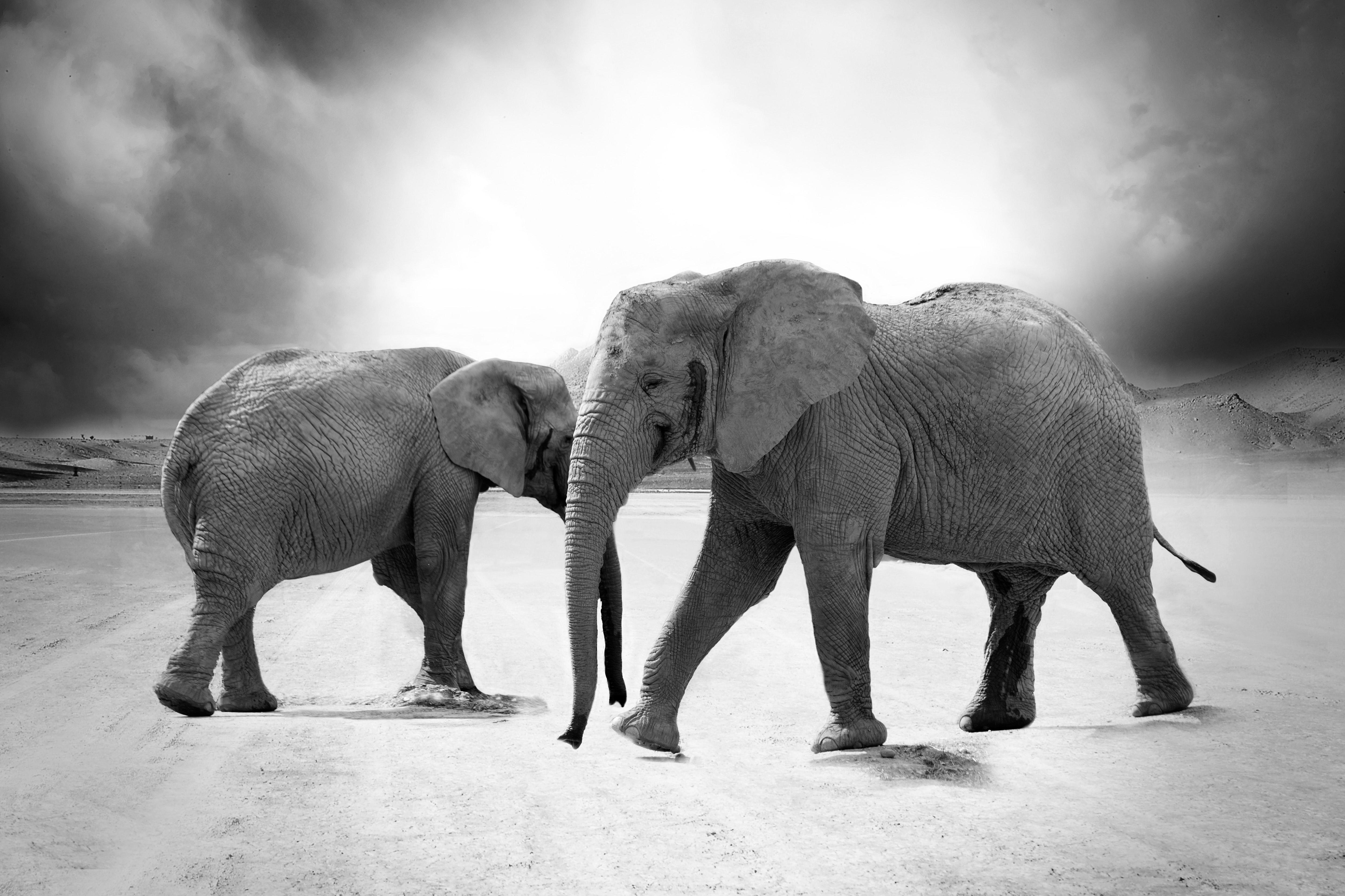Grayscale photo of 2 elephants
