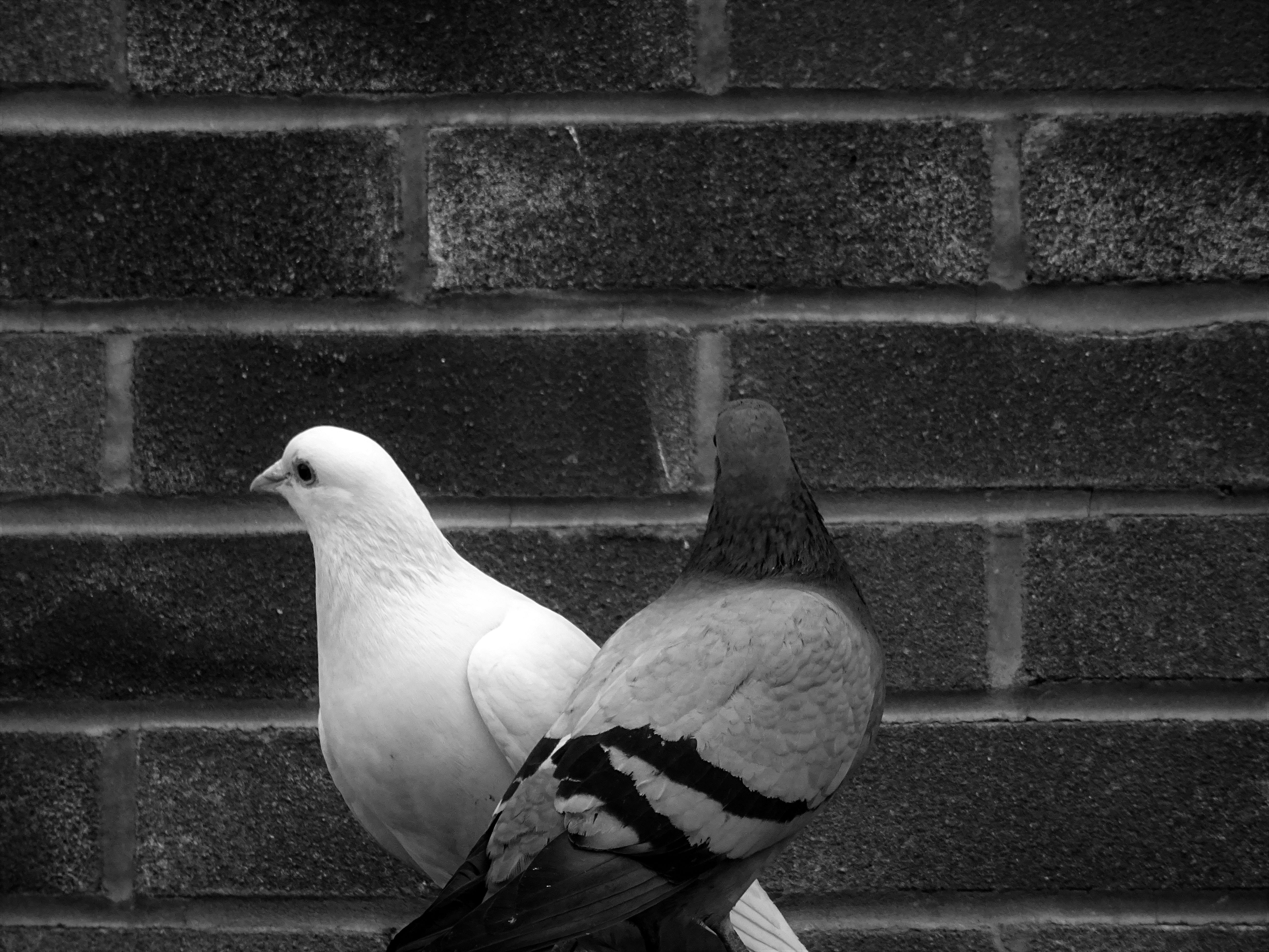 Grayscale Photo of Tow Pigeons, Animals, Avian, Beak, Birds, HQ Photo