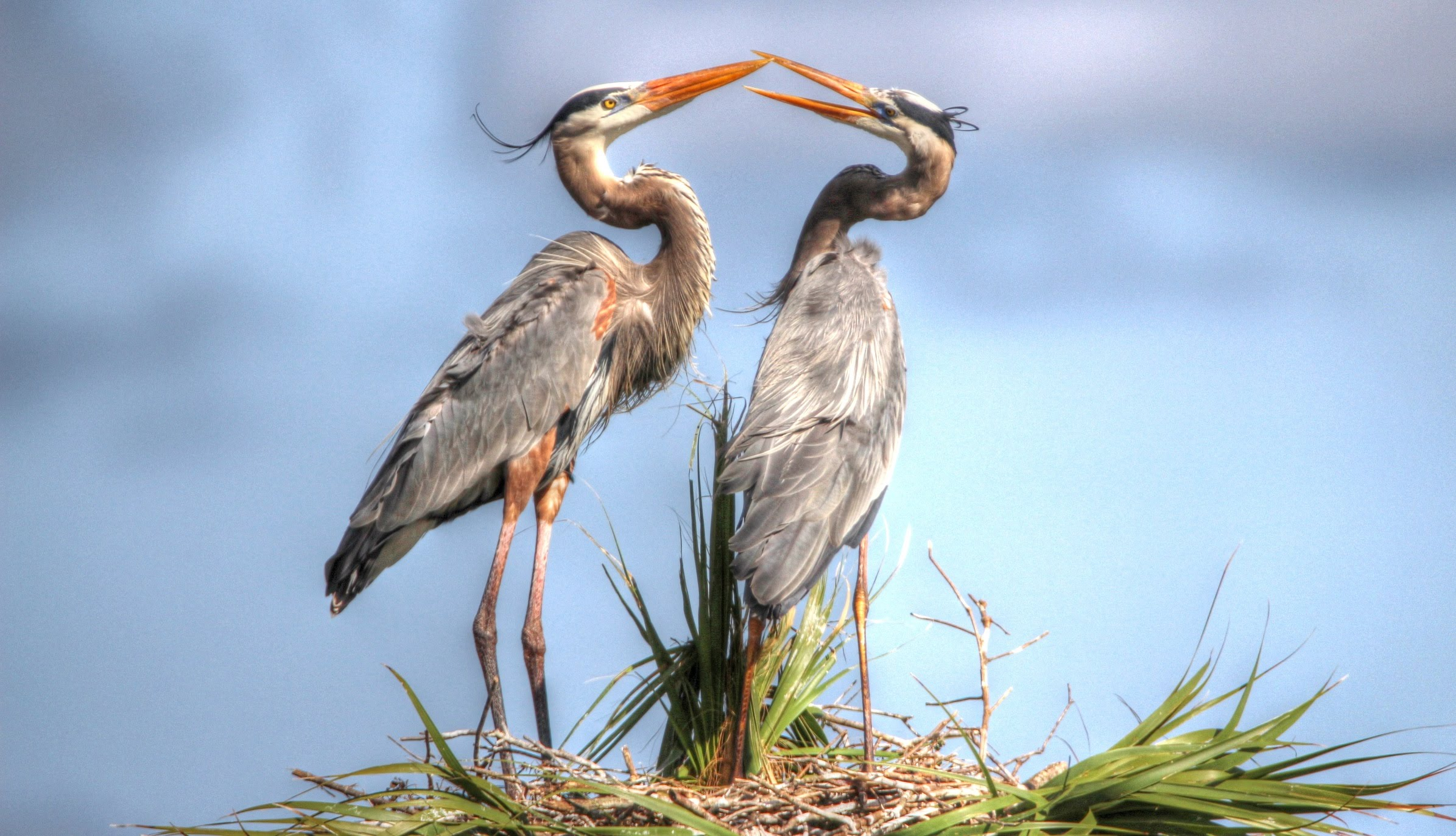 Great Blue Herons Nesting - YouTube