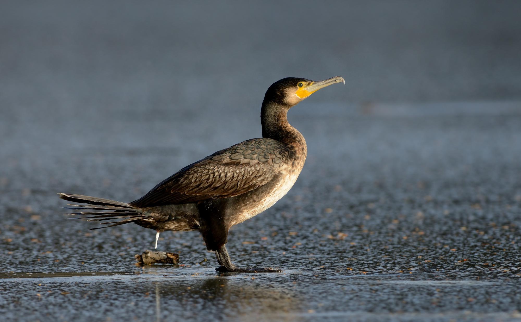 Great Cormorant (Phalacrocorax carbo) Great Cormorant (Phalacrocorax ...