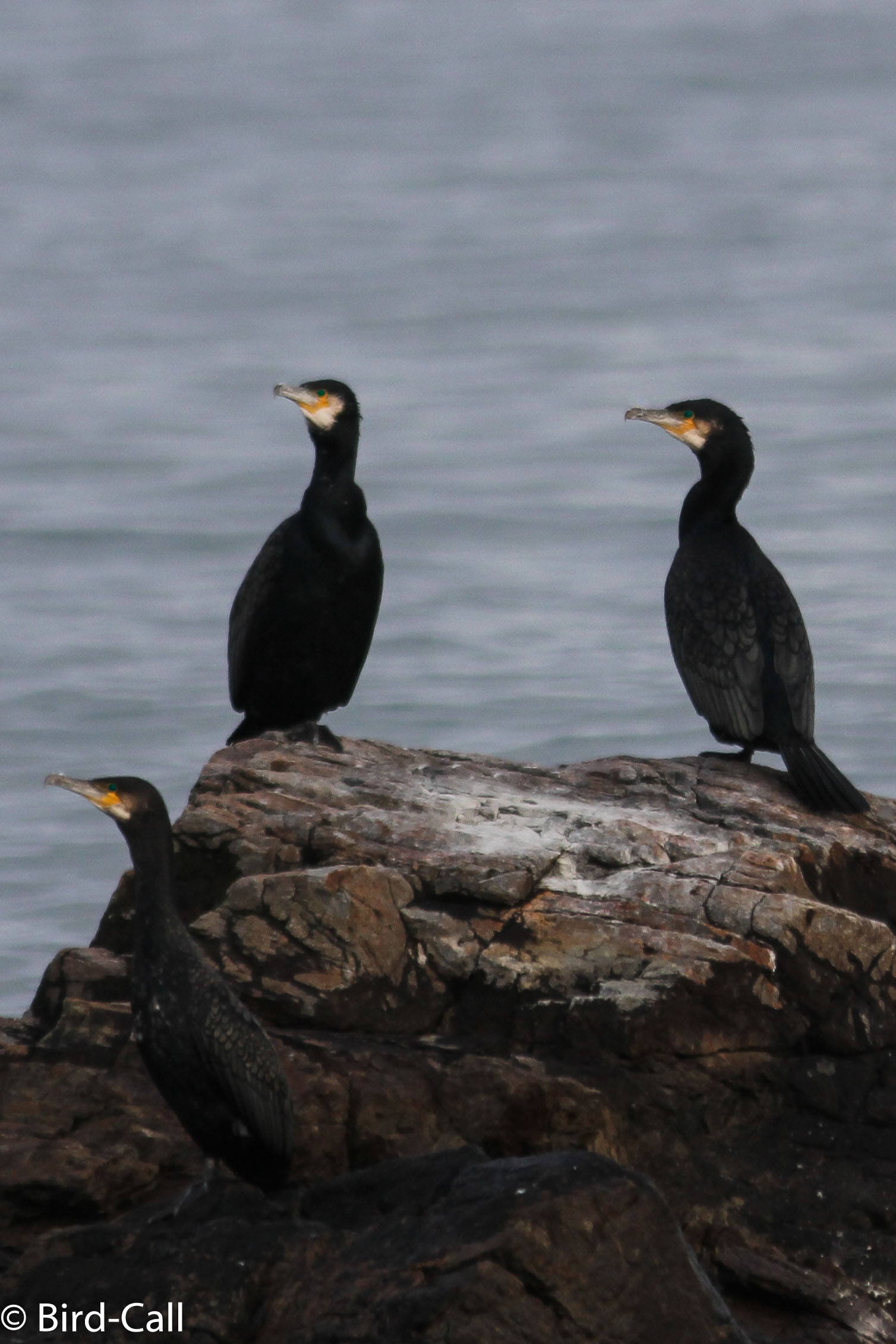 Great Cormorant - Bird Call
