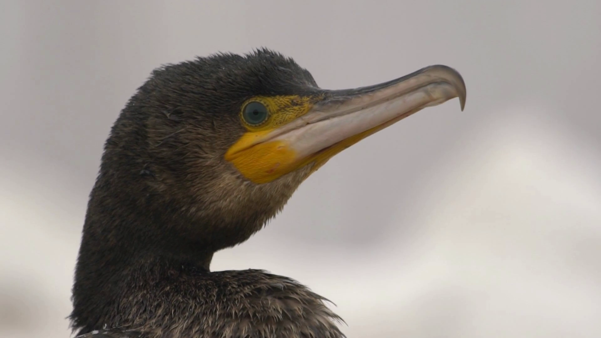 Great cormorant in the pond, close-up, winter season Stock Video ...