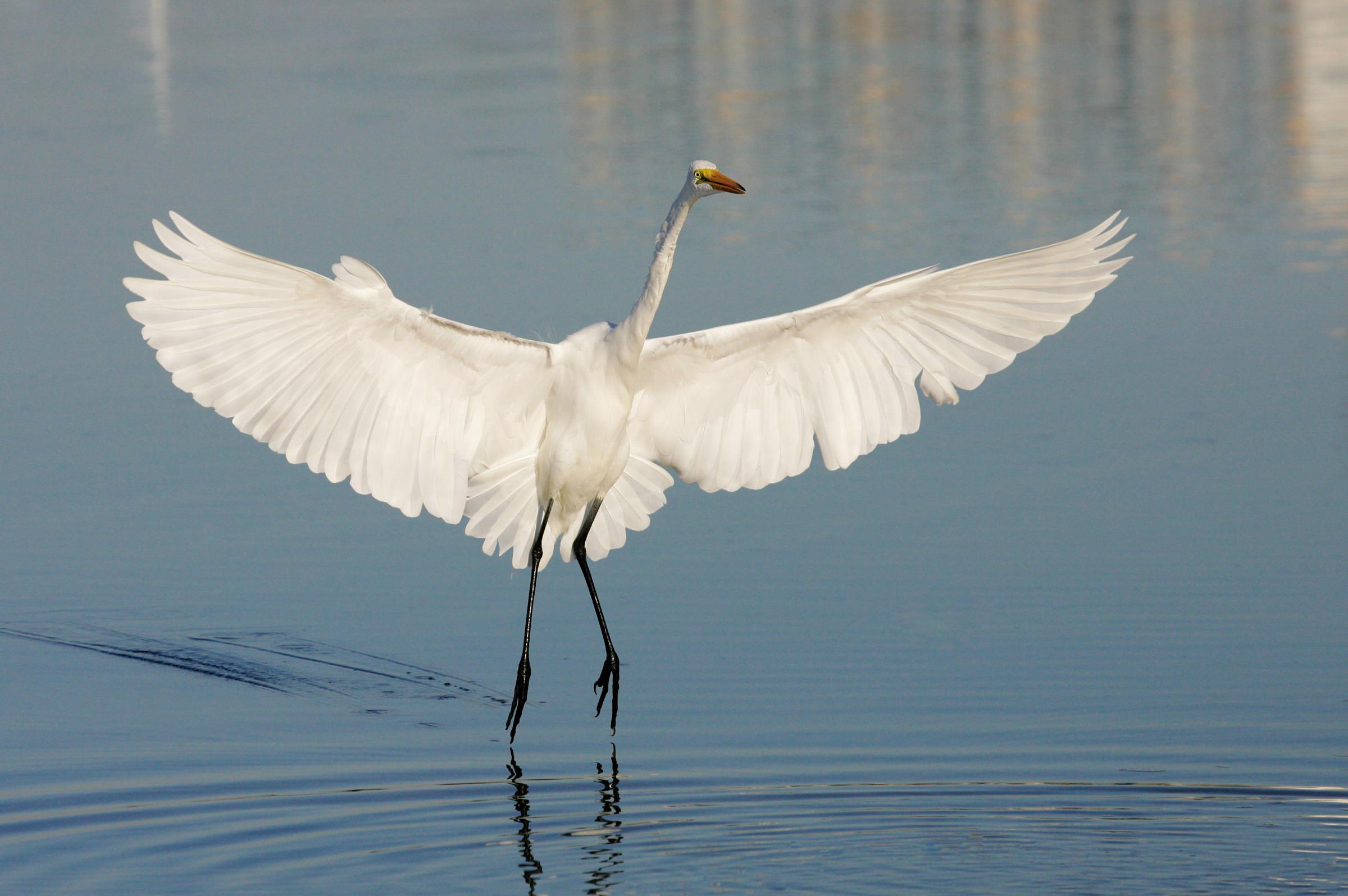 Great Egret | Audubon Field Guide