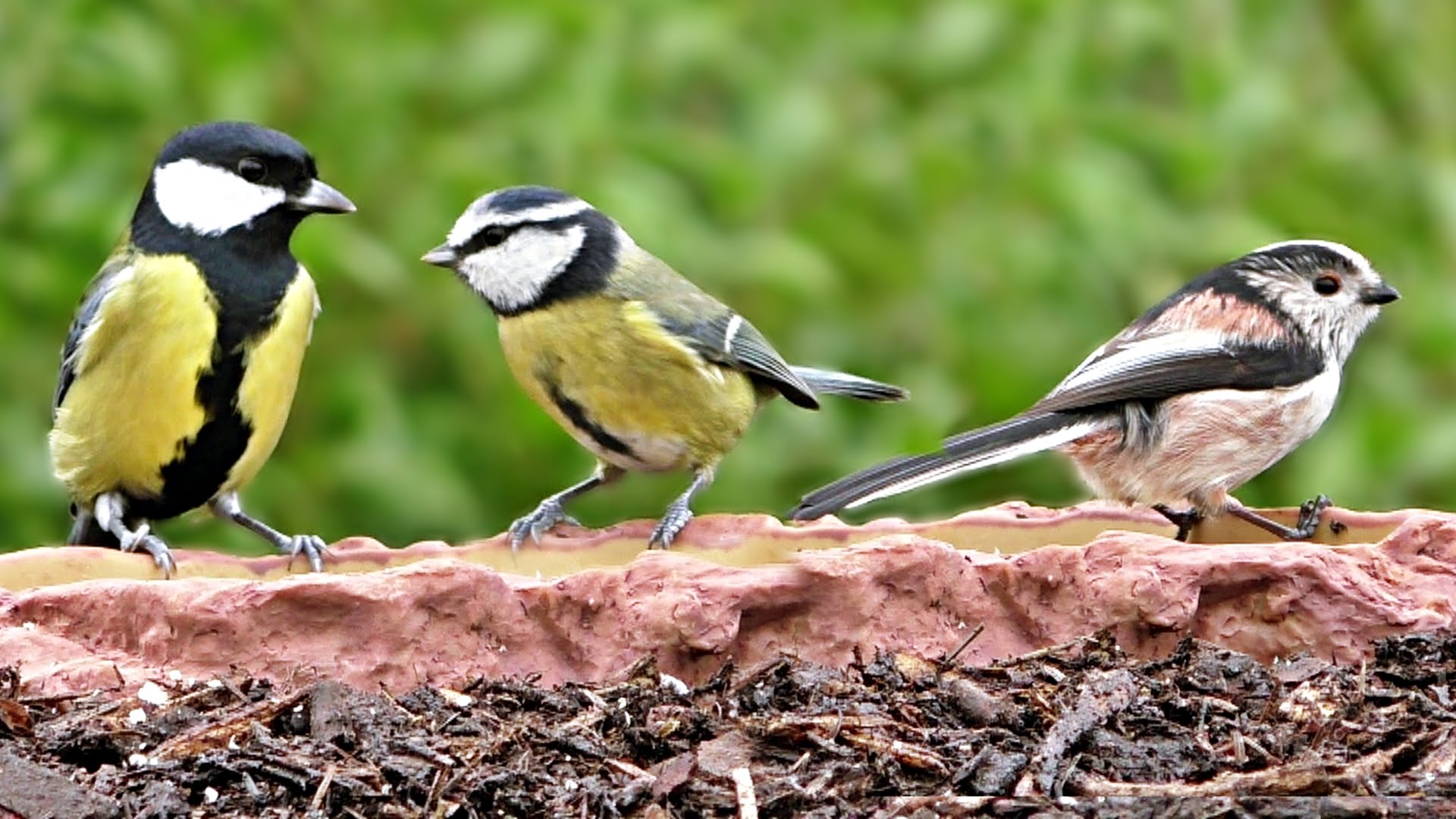 Long-tailed Tits, Blue Tit and Great Tit - Three Little Birds - YouTube