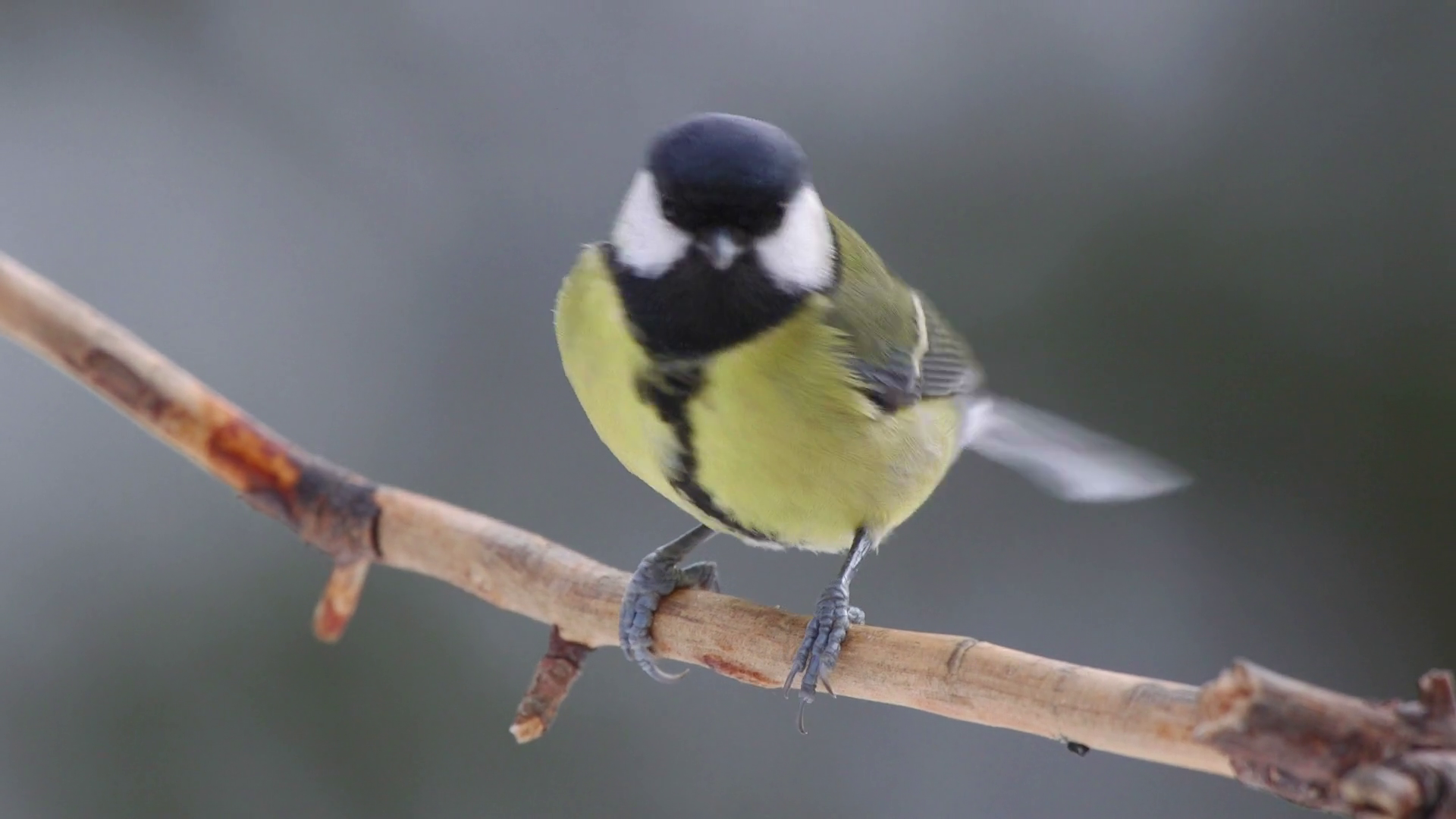 animal great tit bird perched on branch side view alerted fly away ...