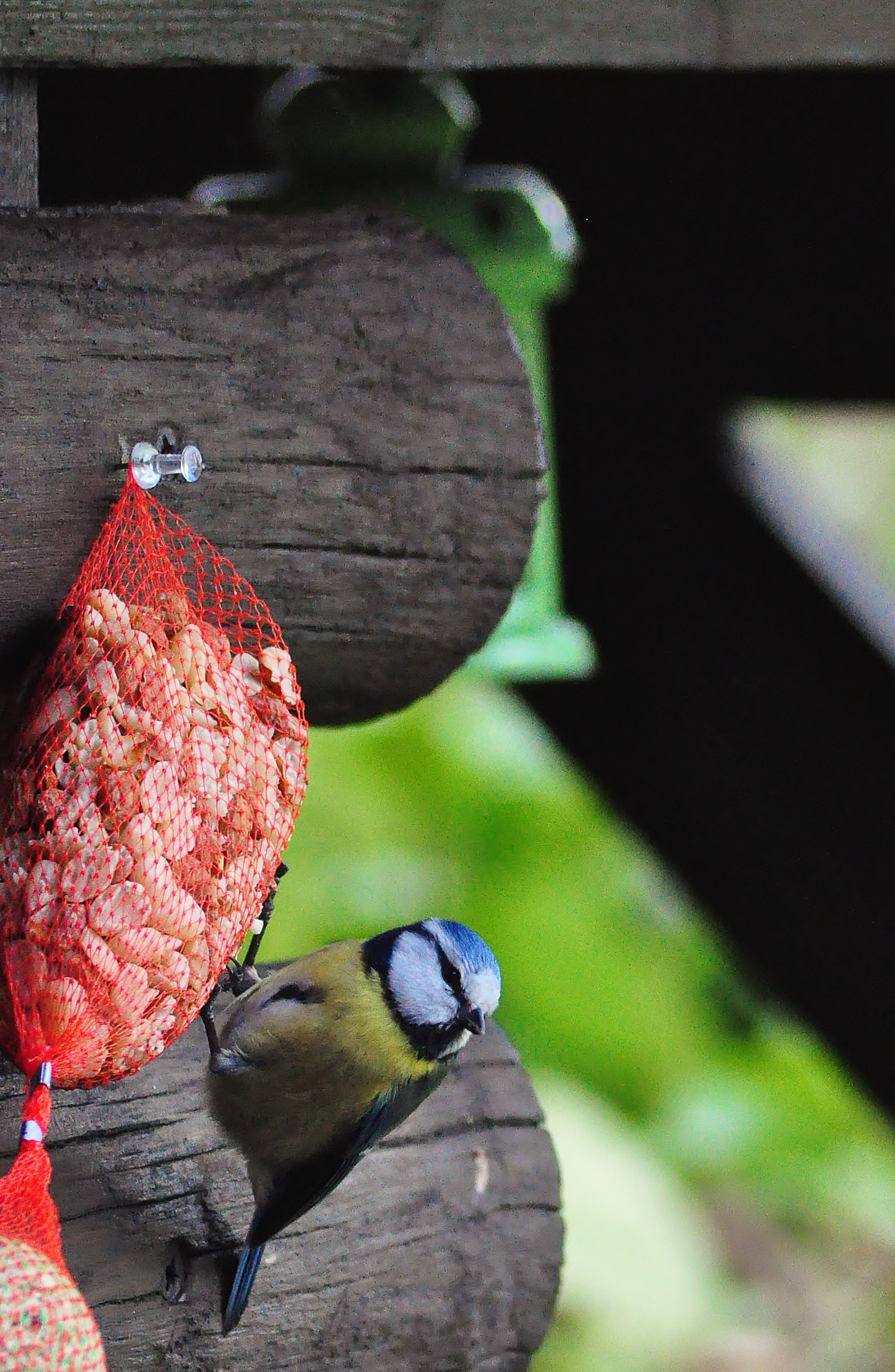 Great Tit, Animal, Bird, Closeup, Little, HQ Photo