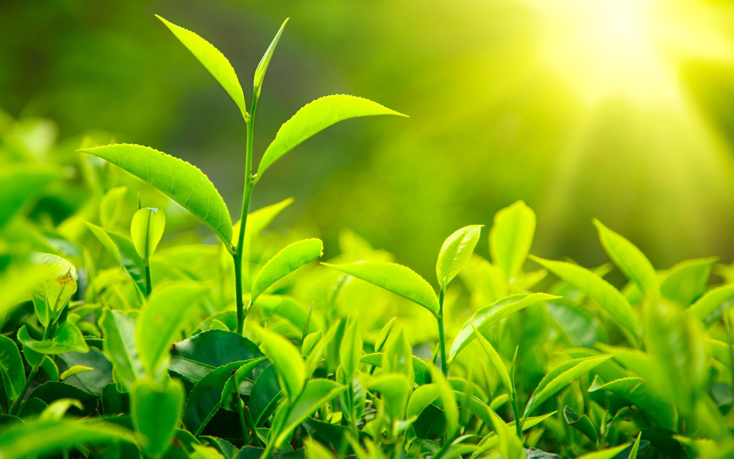 Green Tea Extracts for Effective Weight Loss - Top 5 Green Tea Products
