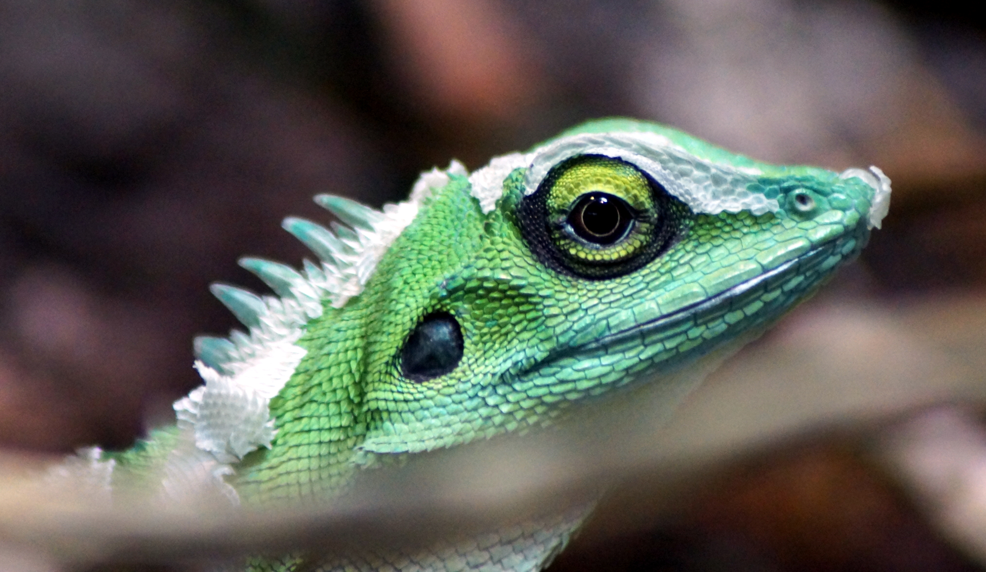 Green Crested Lizard HD Wallpaper, Background Images