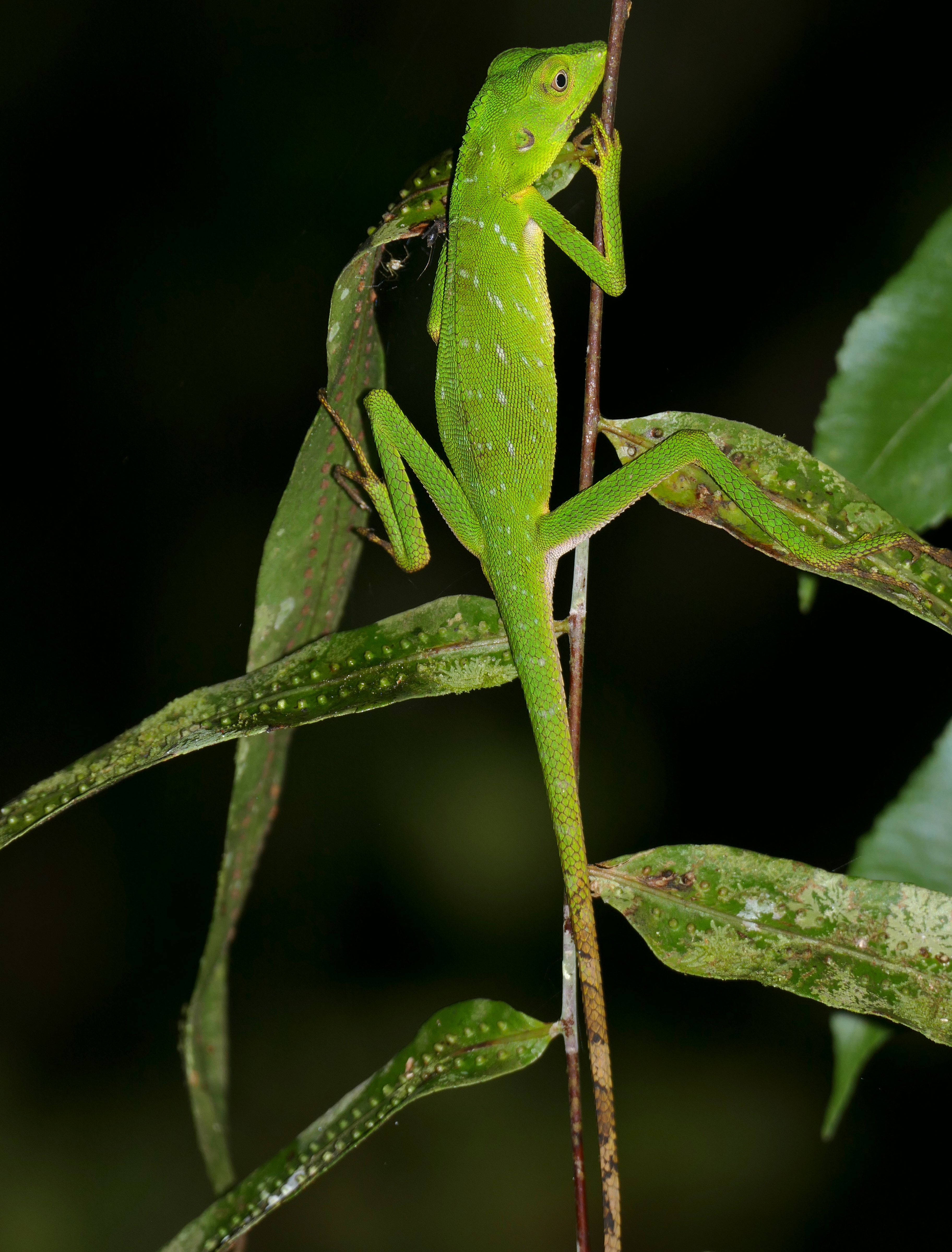 File:Green Crested Lizard (Bronchocela cristatella) (23771747885 ...