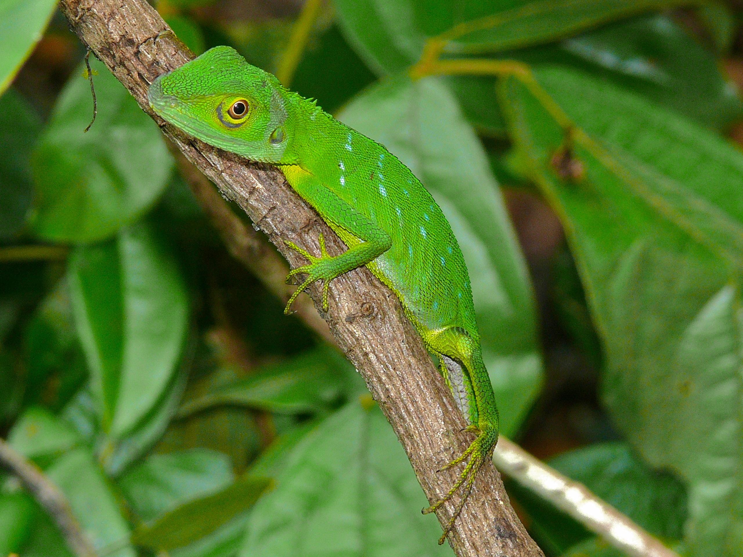 File:Green Crested Lizard (Bronchocela cristatella) (6748027981).jpg ...