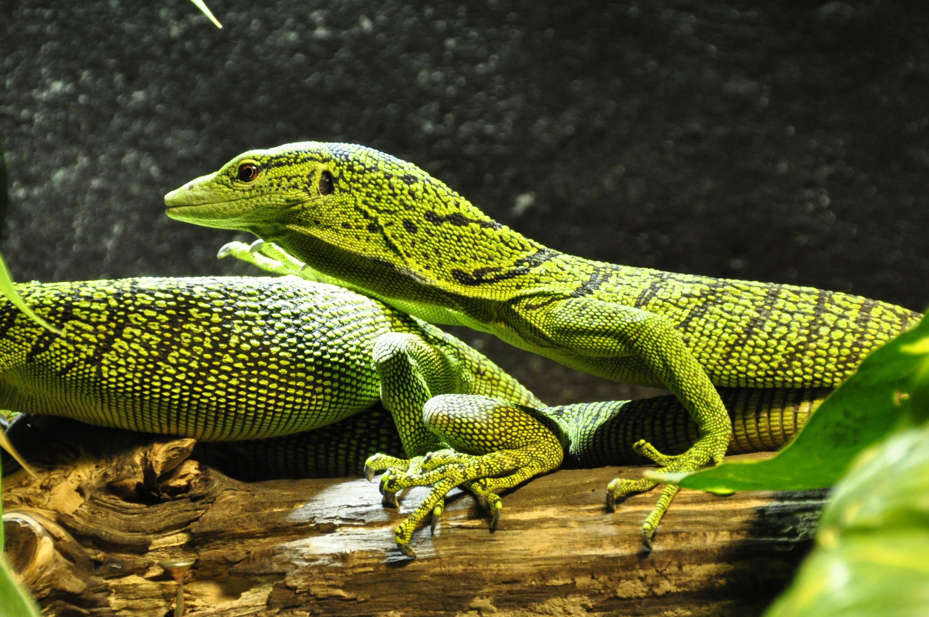 Green Crested Lizard, Macro, Reptile, Lizards, Green, HQ Photo