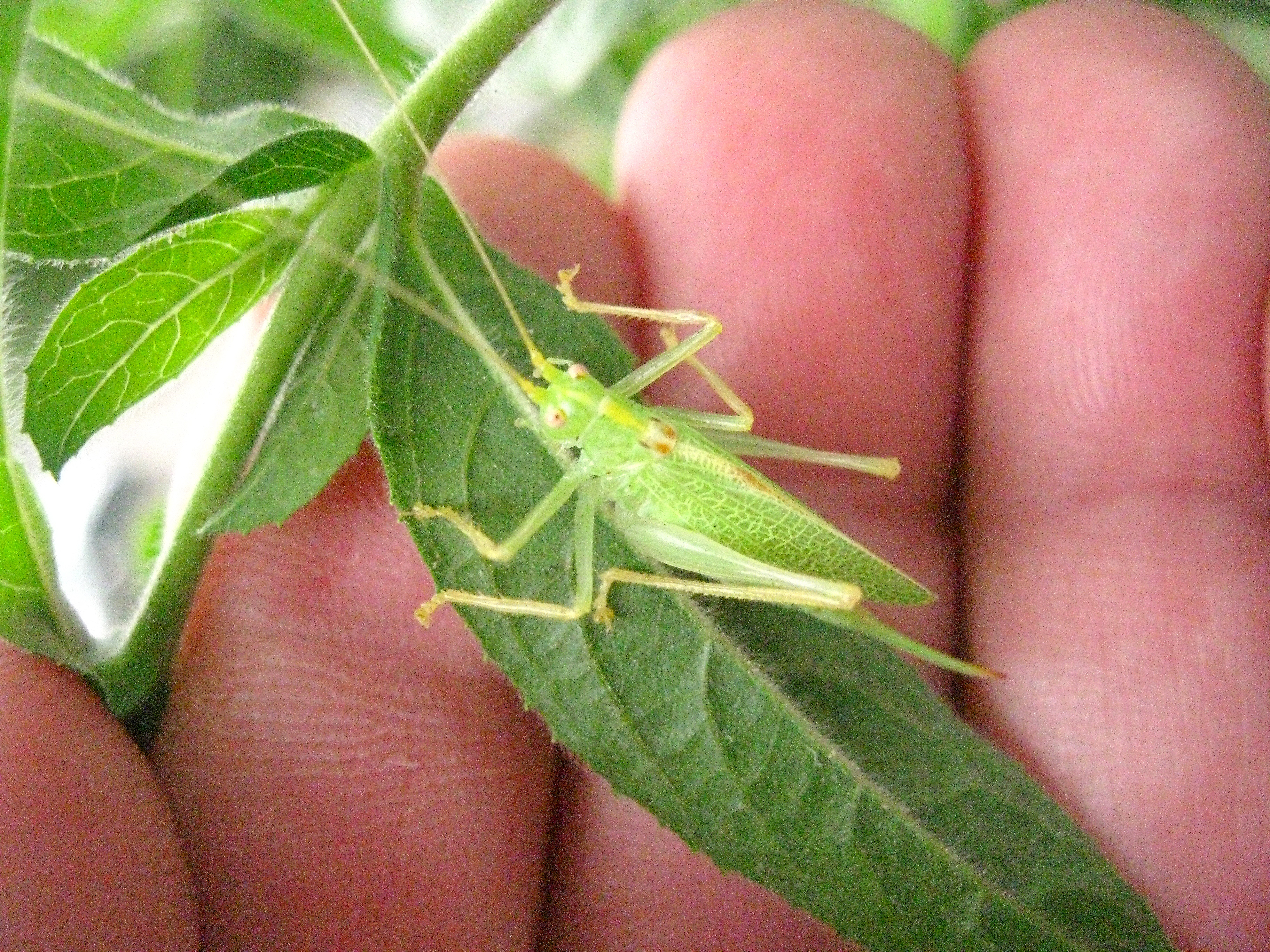 NaturePlus: What type of Cricket?