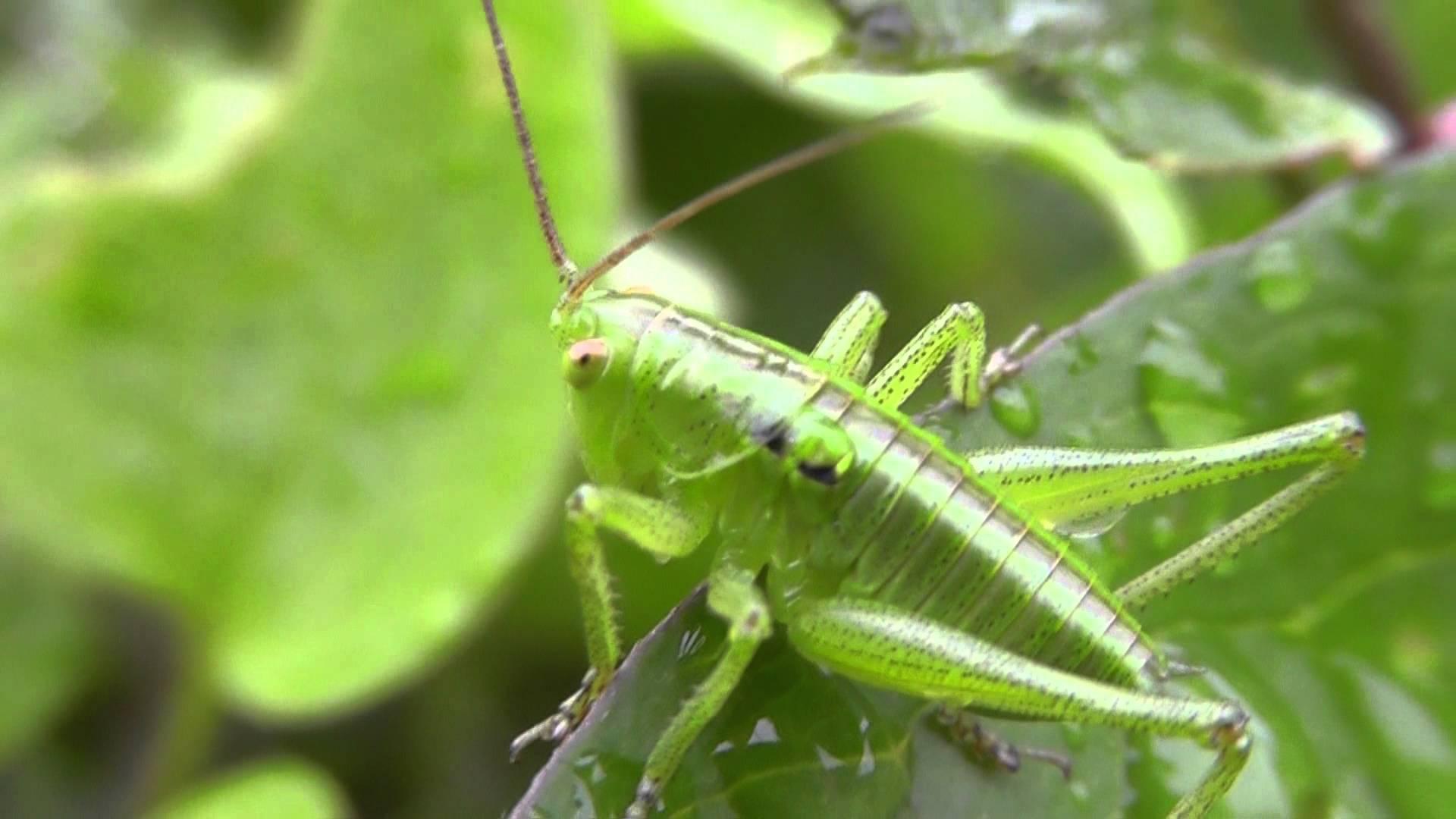 Beautiful Japanese Green Cricket - Order Orthoptera - YouTube