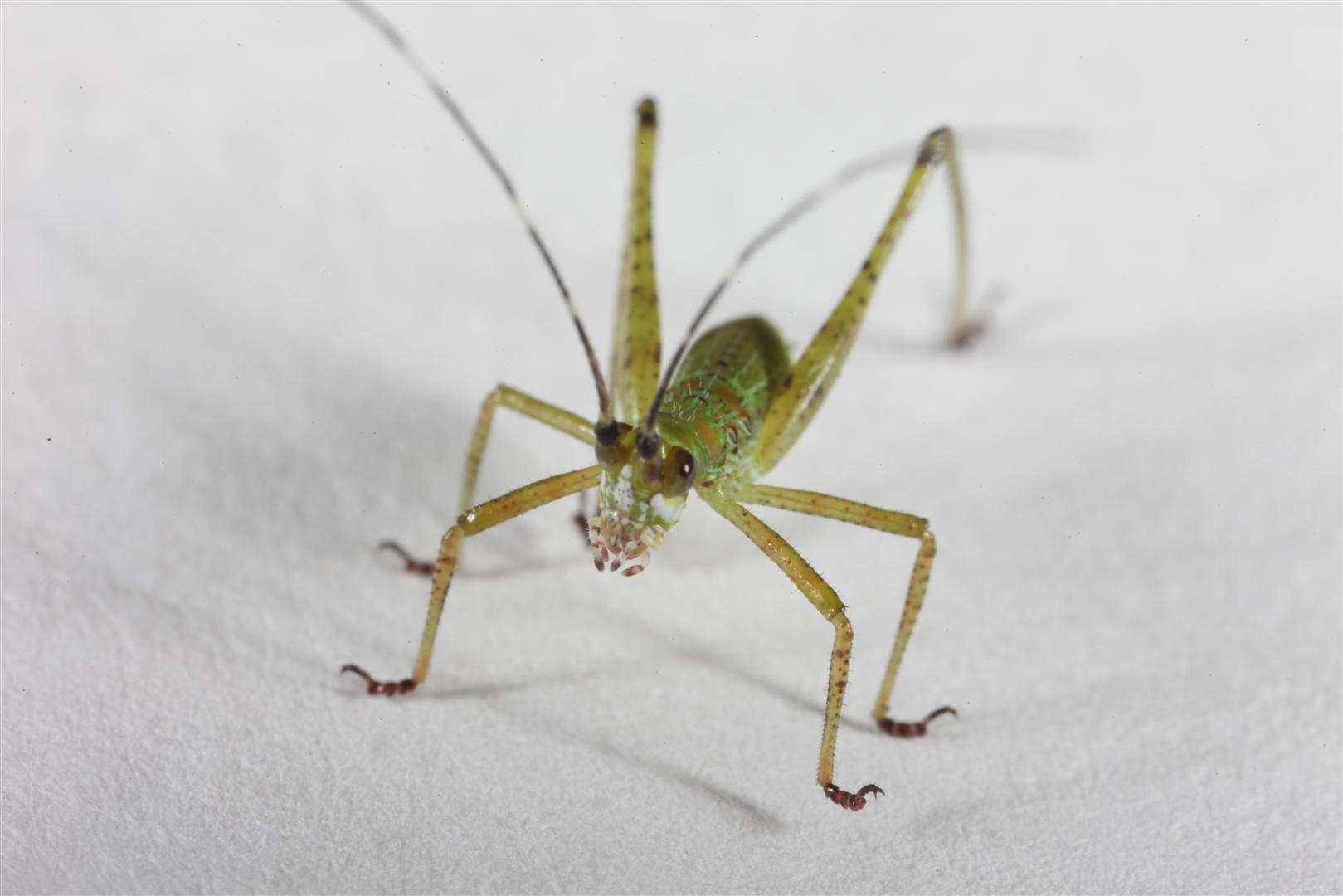 Green Cricket, Bug, Cricket, Green, Insect, HQ Photo