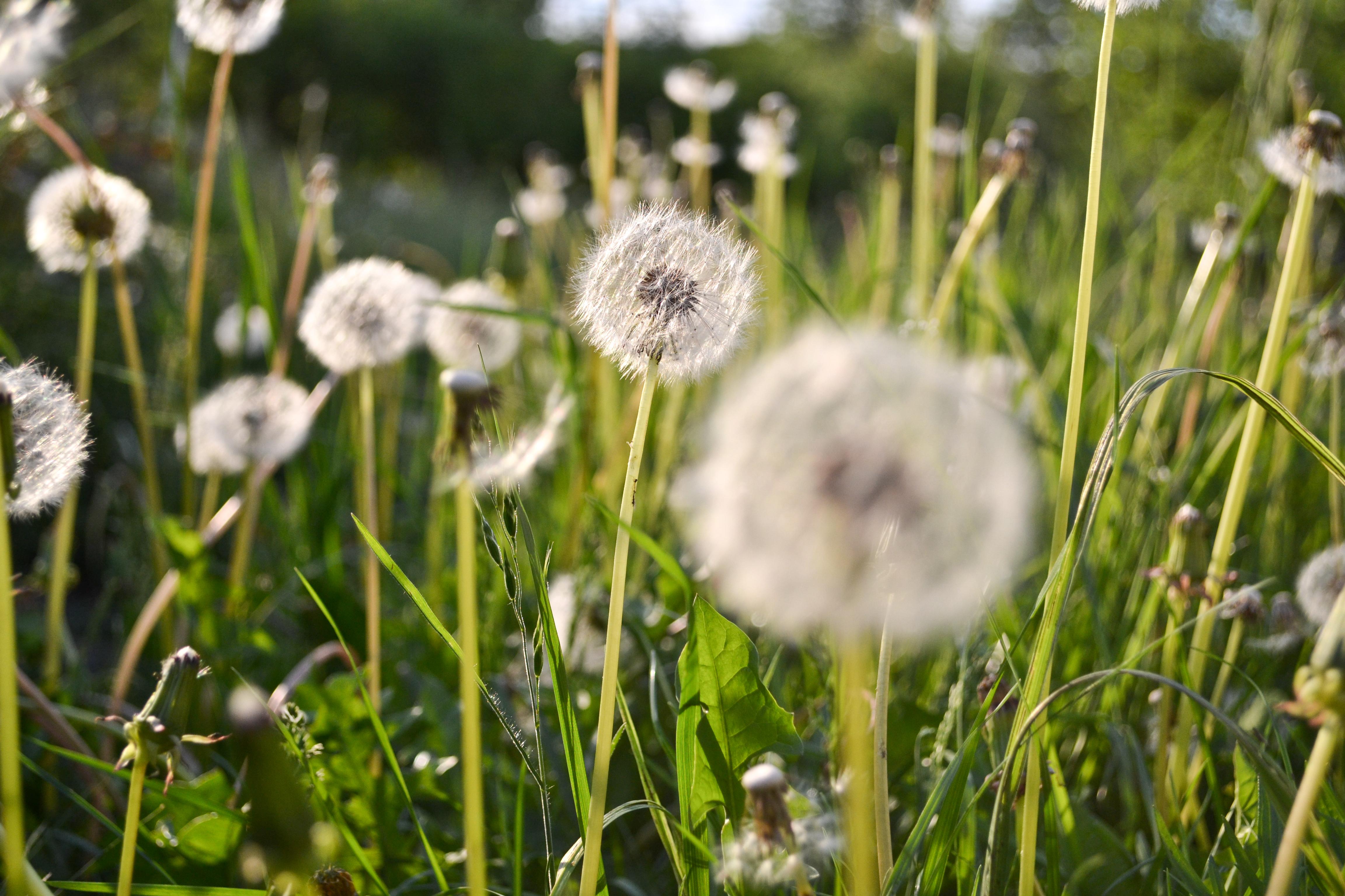 Green field of dandelion, Dandelions, Field, Flowers, Green, HQ Photo