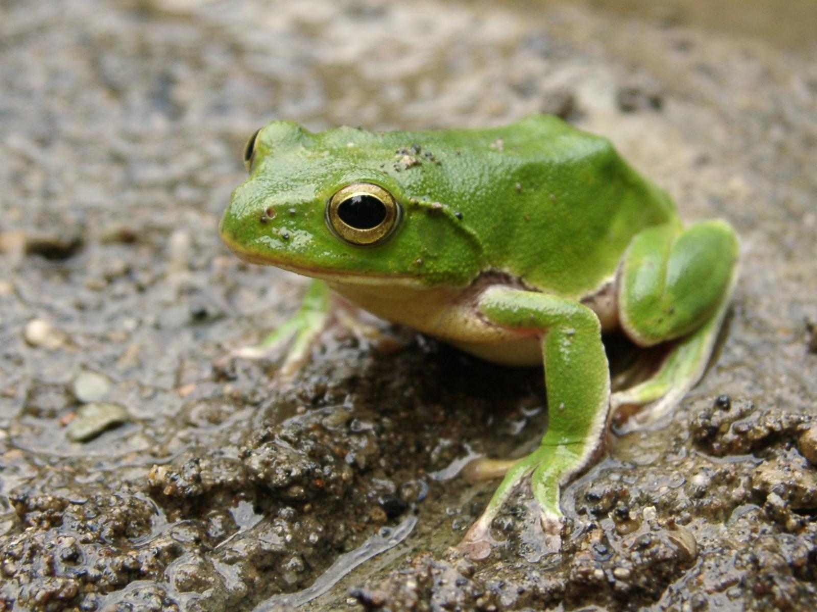 Image - Green-frog.jpg | Beast Wars Transformers Wiki | FANDOM ...