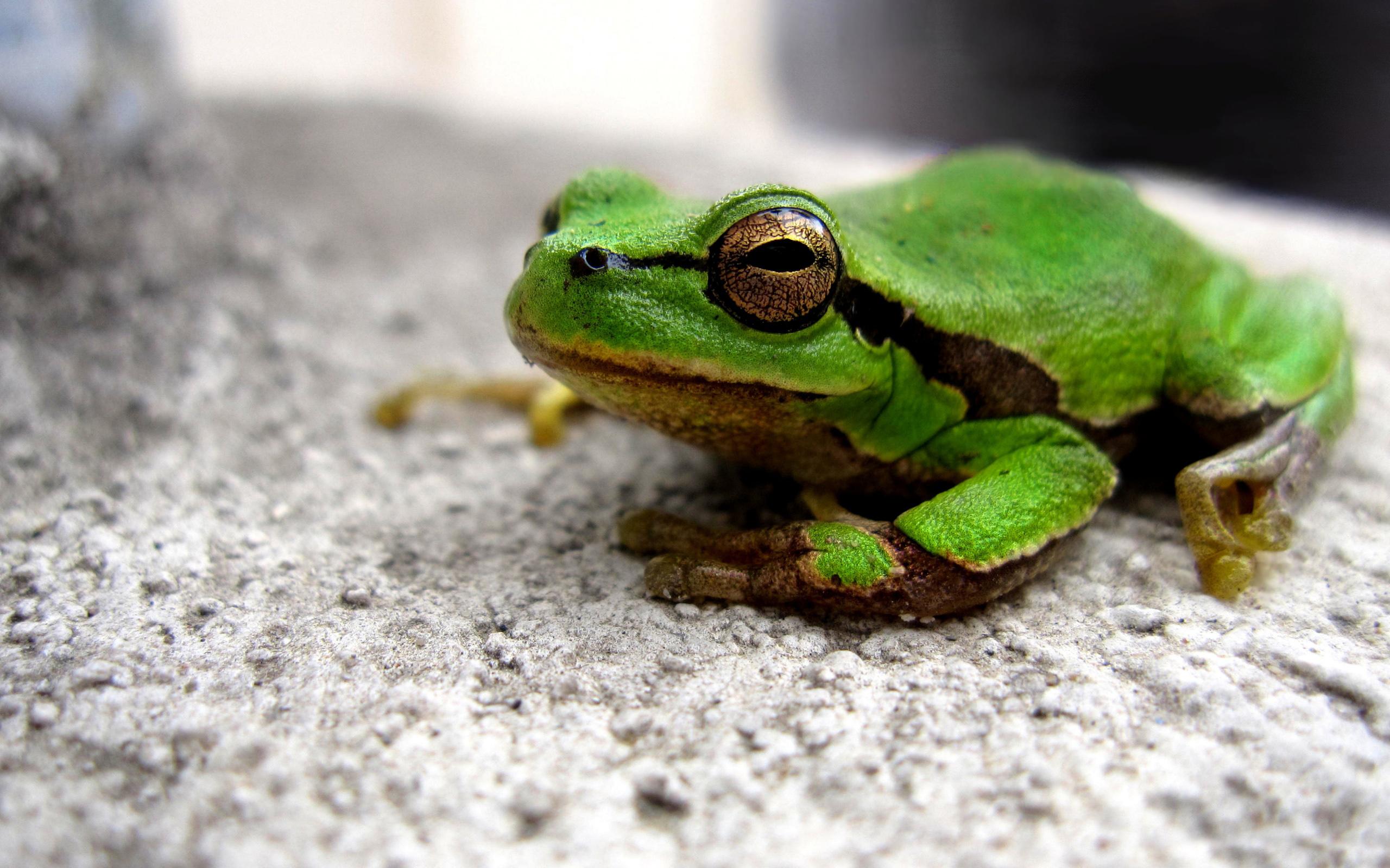 Green frog / 2560 x 1600 / Macro / Photography | MIRIADNA.COM