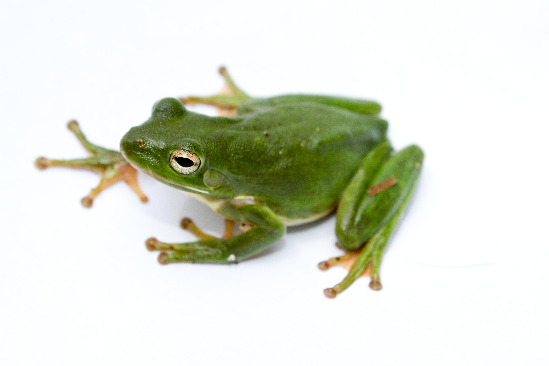 File:Green treefrog.jpg - Wikimedia Commons