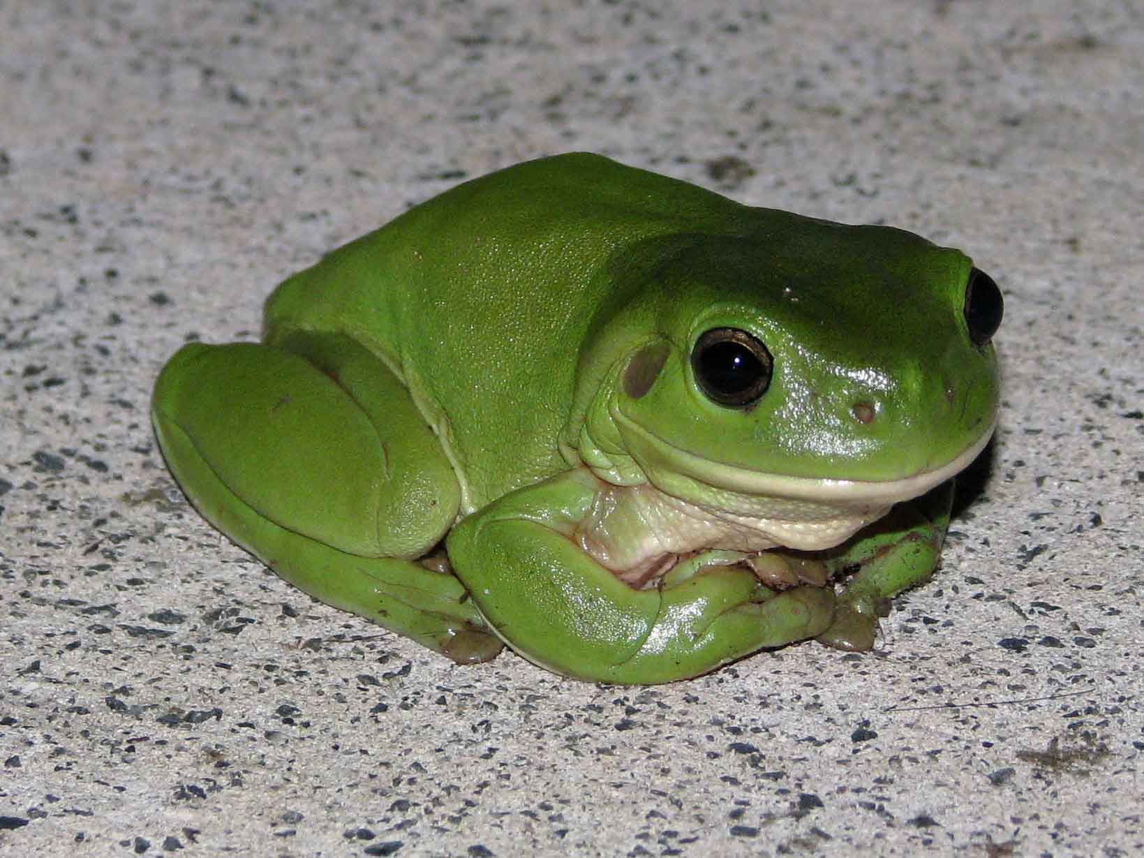 Green Tree Frog – Litoria caerulea | Fox Gully Bushcare