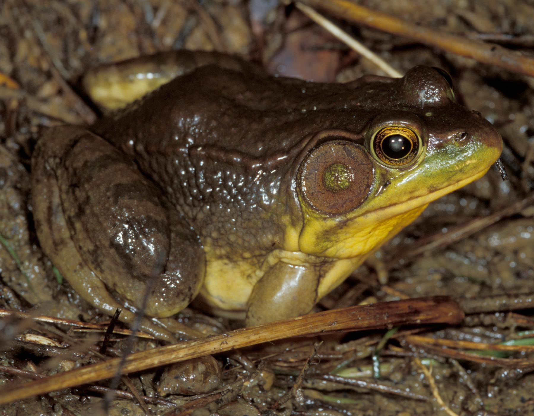 Green Frog | MDC Discover Nature