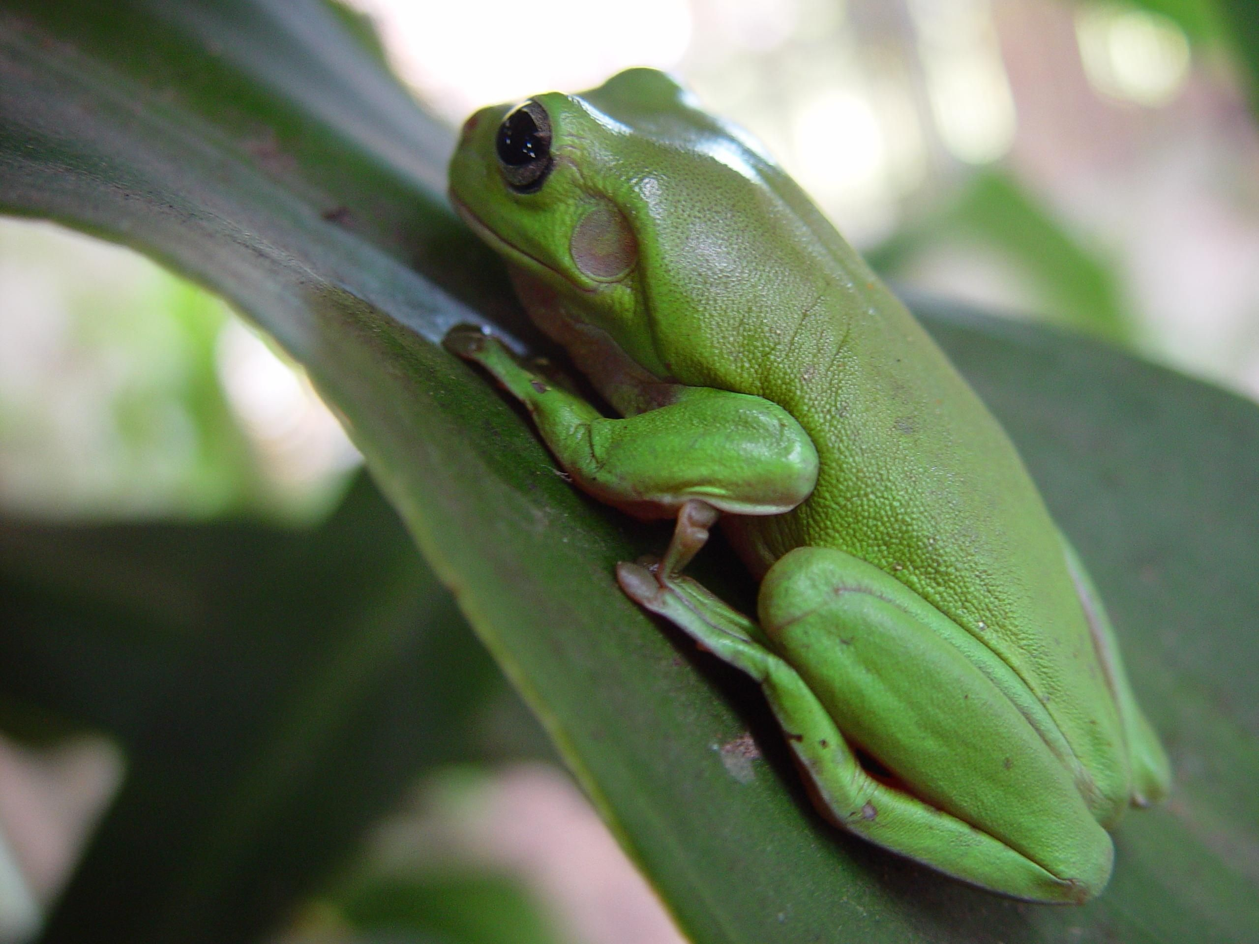 Green Frog, Reptile, Nature, Frog, Animal, HQ Photo