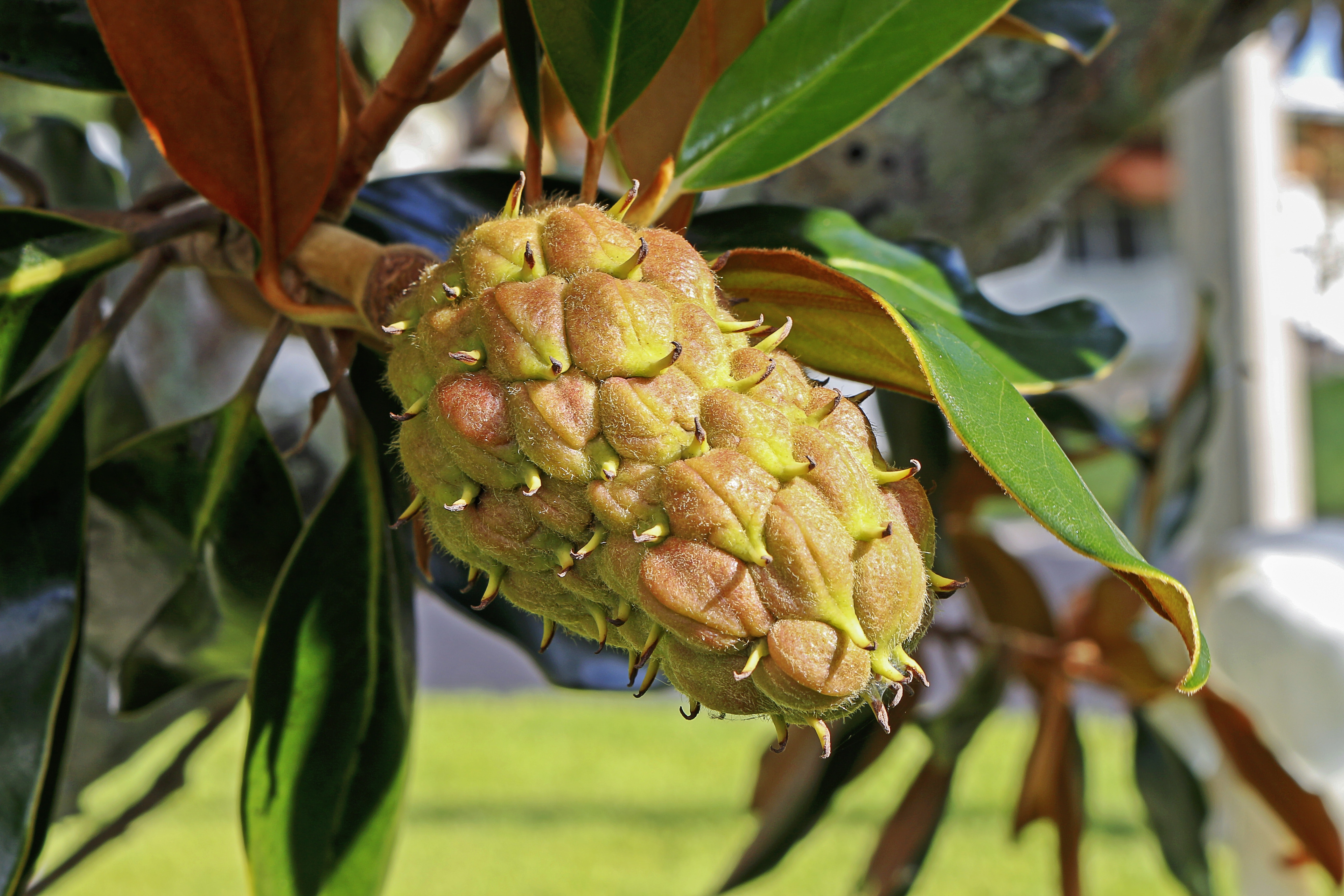 Green Fruit, Magnolia, Leaves, Outdoors, Plant, HQ Photo