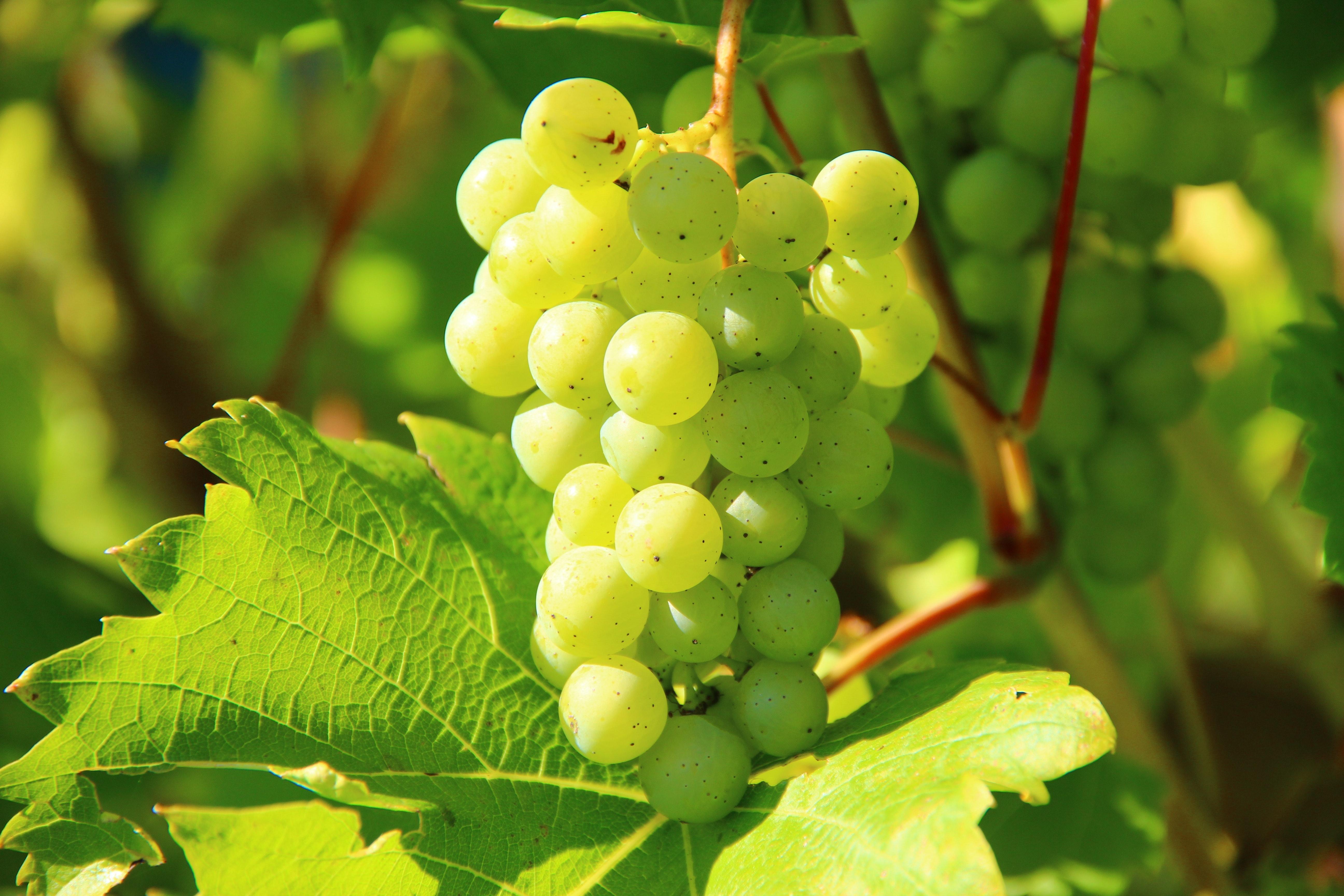 Green Grapes, Food, Fruit, Grapes, Green, HQ Photo