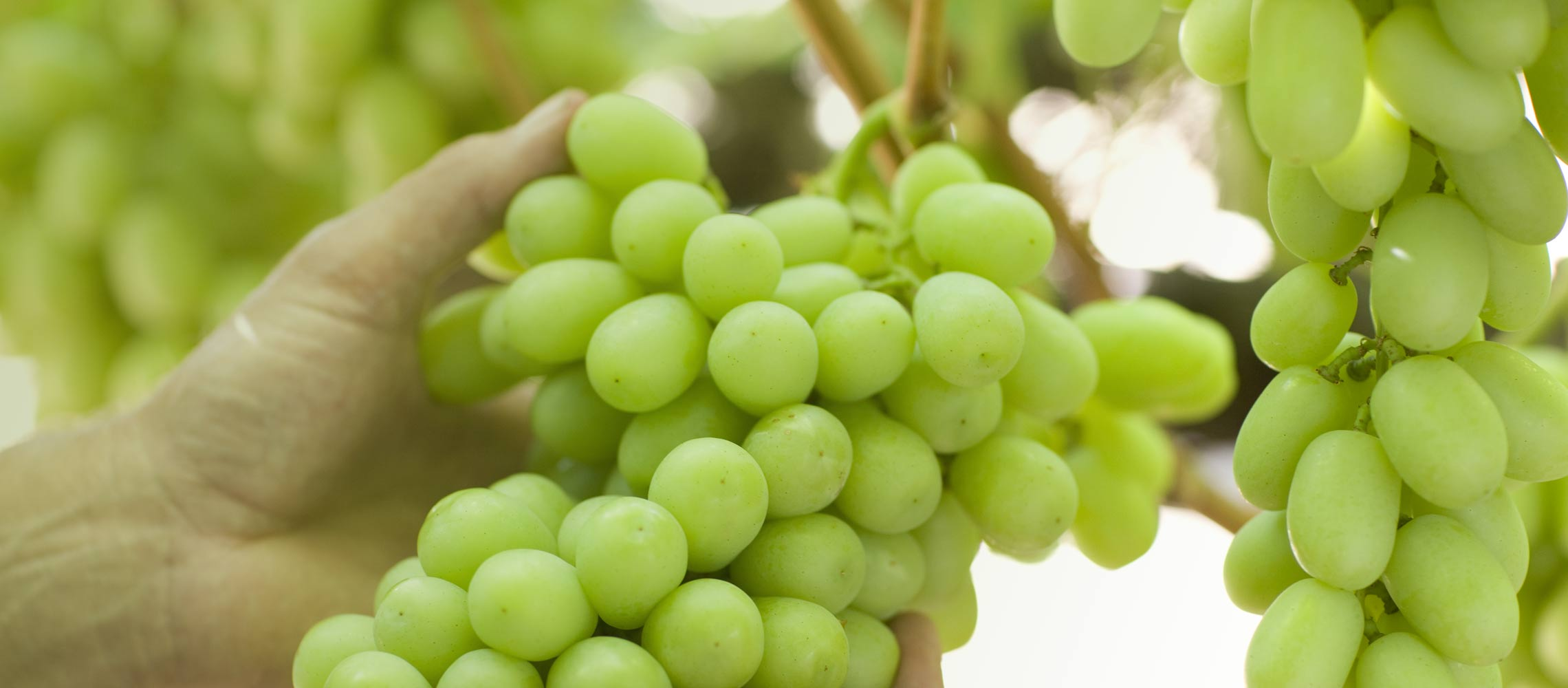 Grapes & Health | Grapes from California