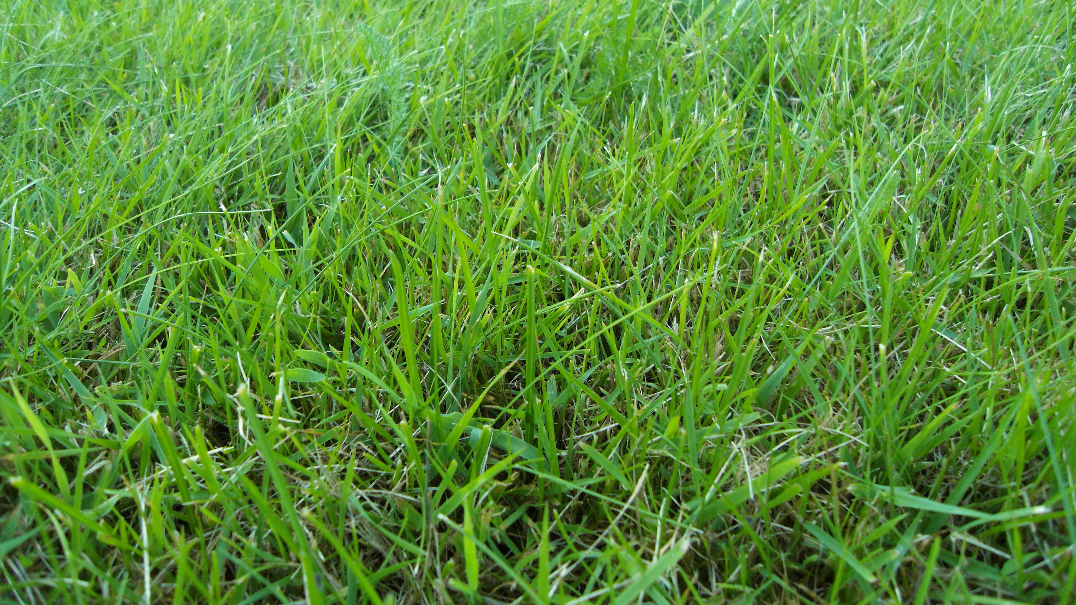 File:Green grass (cut).JPG - Wikimedia Commons