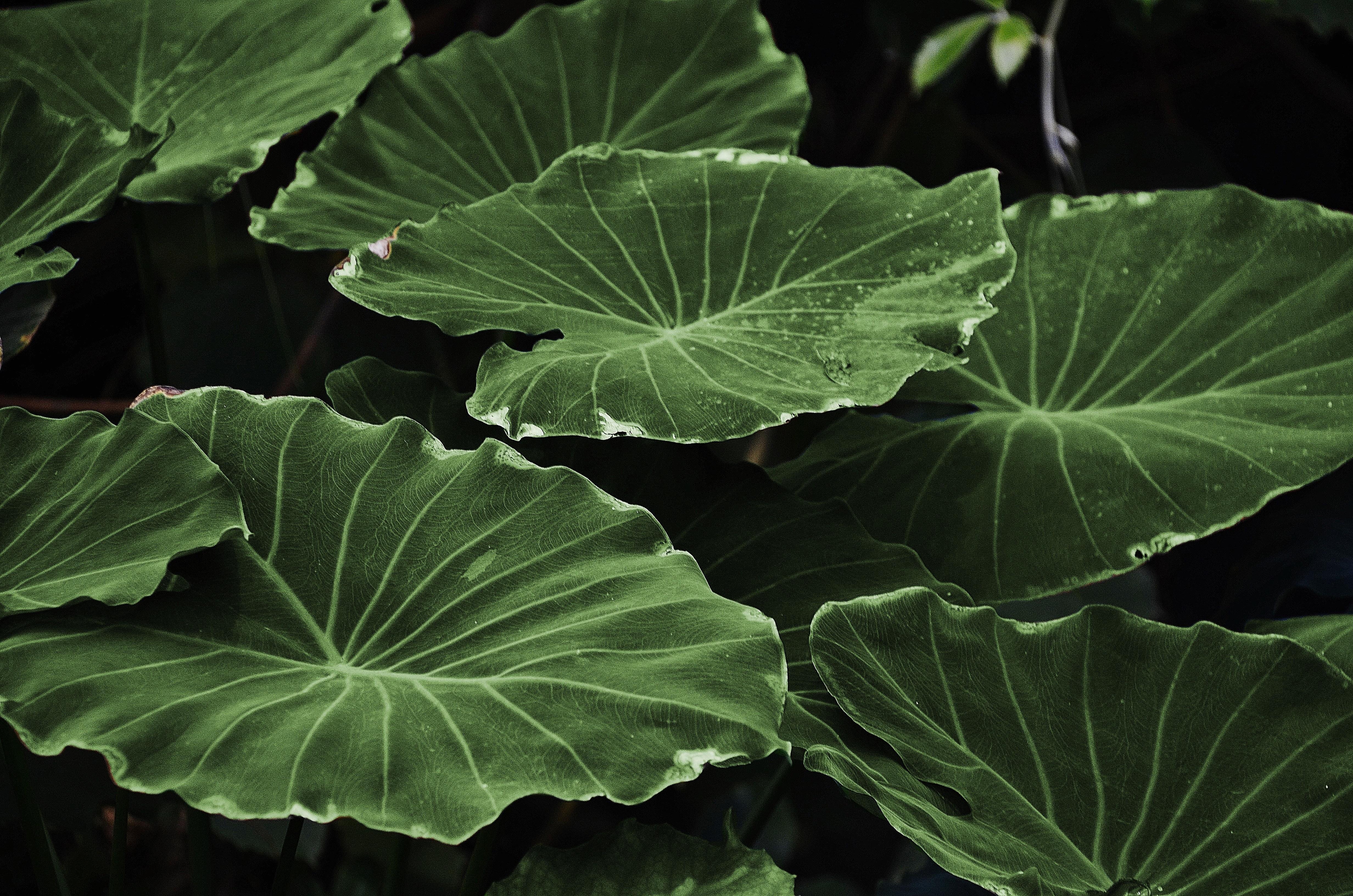 Green Heart Shape Leaf, Green, Leaves, Nature, Plant, HQ Photo