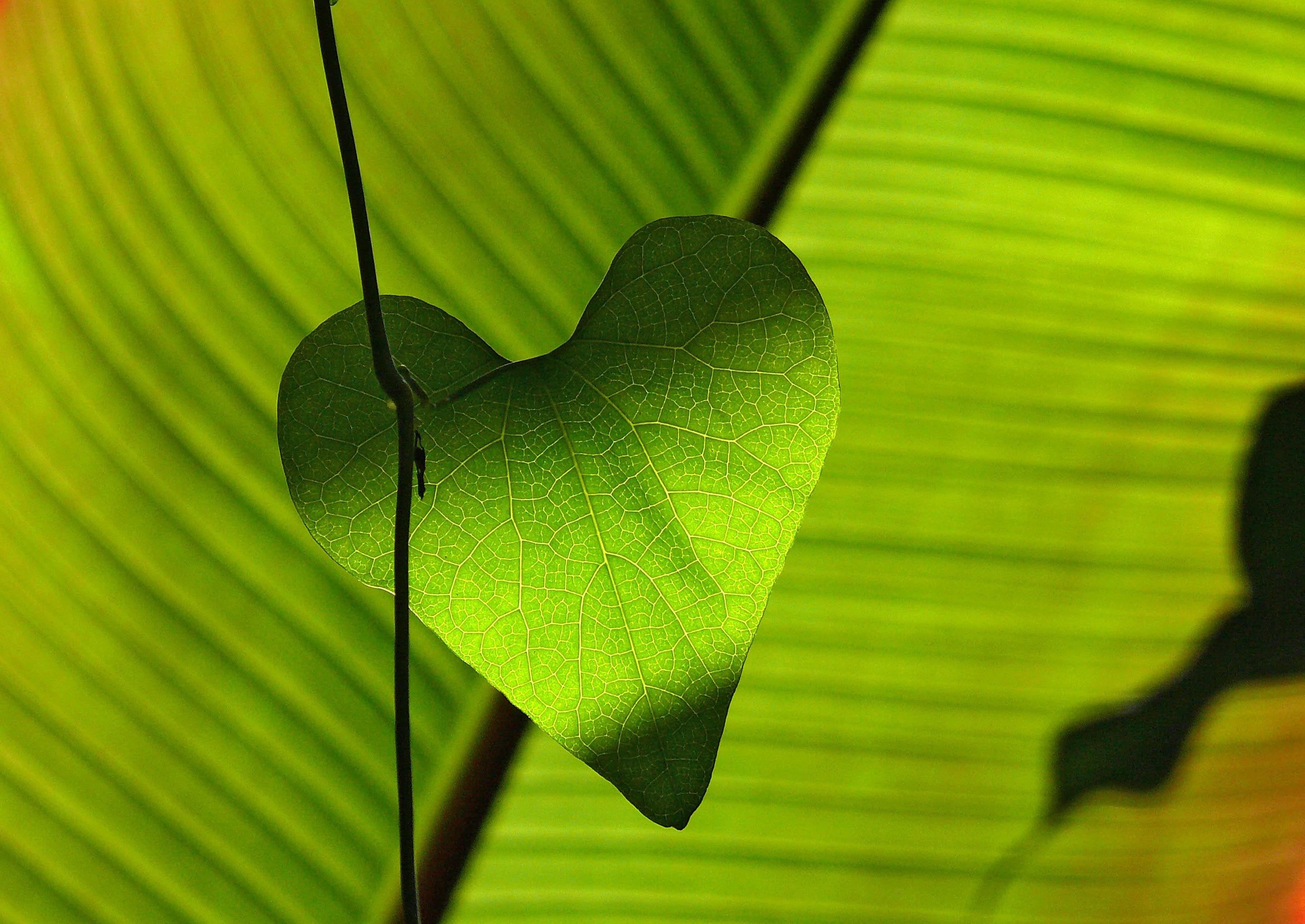 Green heart shape leaf photo
