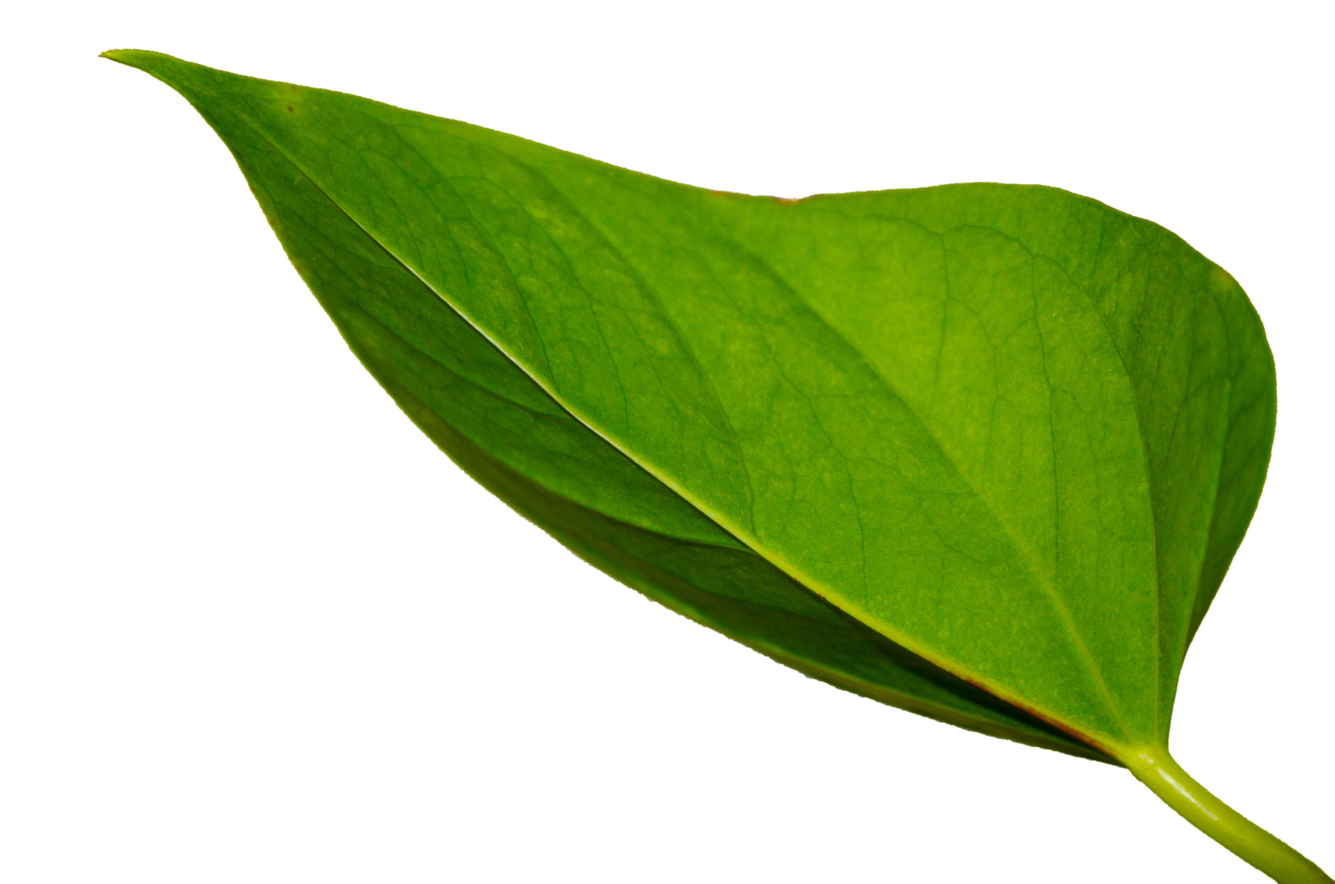 Green Leaf Free Stock Photo - Public Domain Pictures
