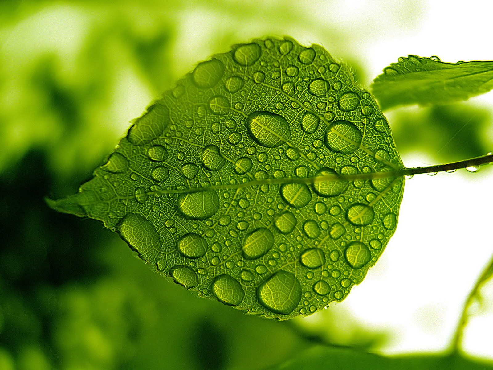 Water Drops Green Leaf Wallpaper | Download cool HD wallpapers here.