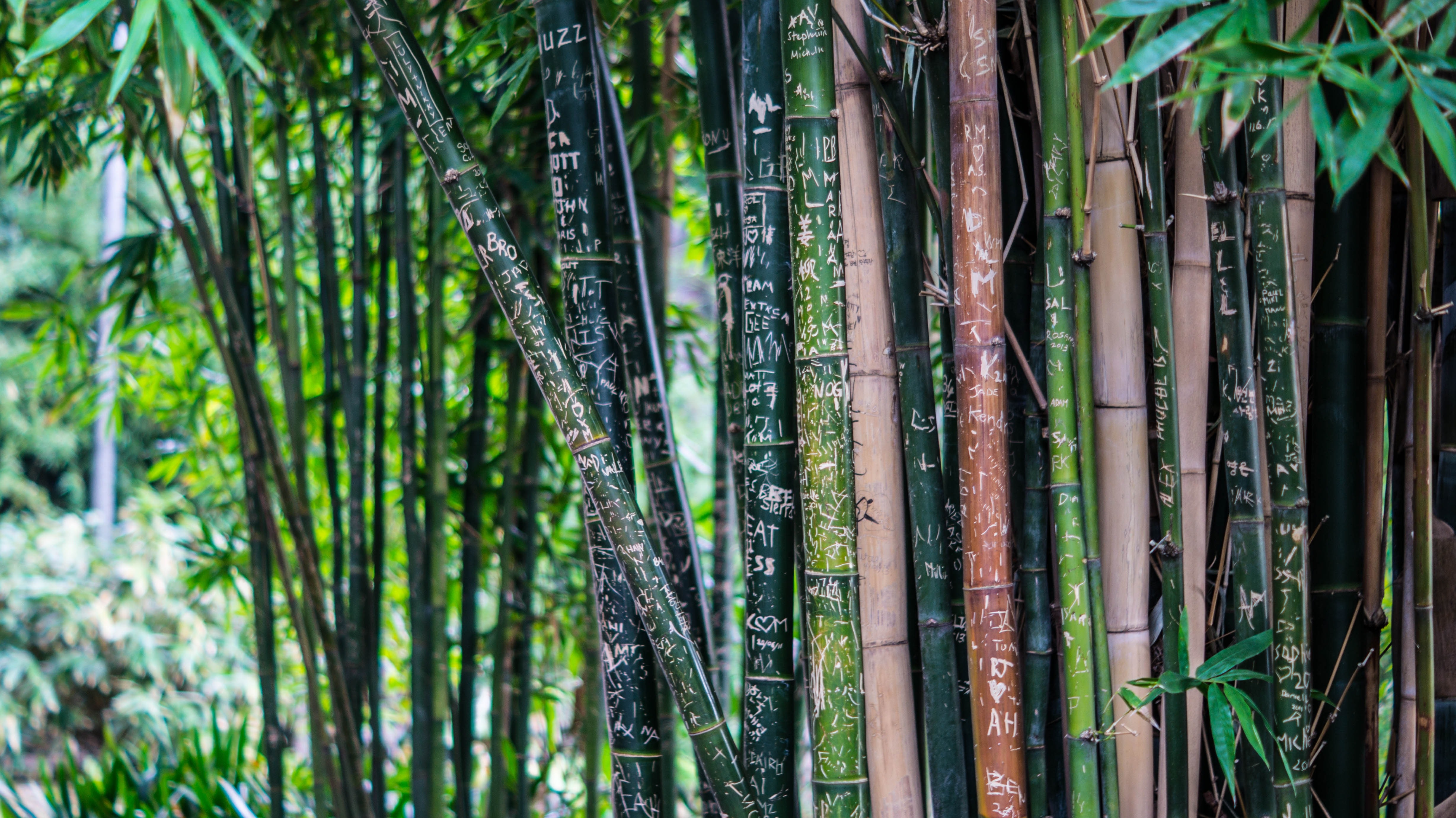Green Leaf Bamboo Tree at Daytime, Bamboo, Forest, Macro, Nature, HQ Photo