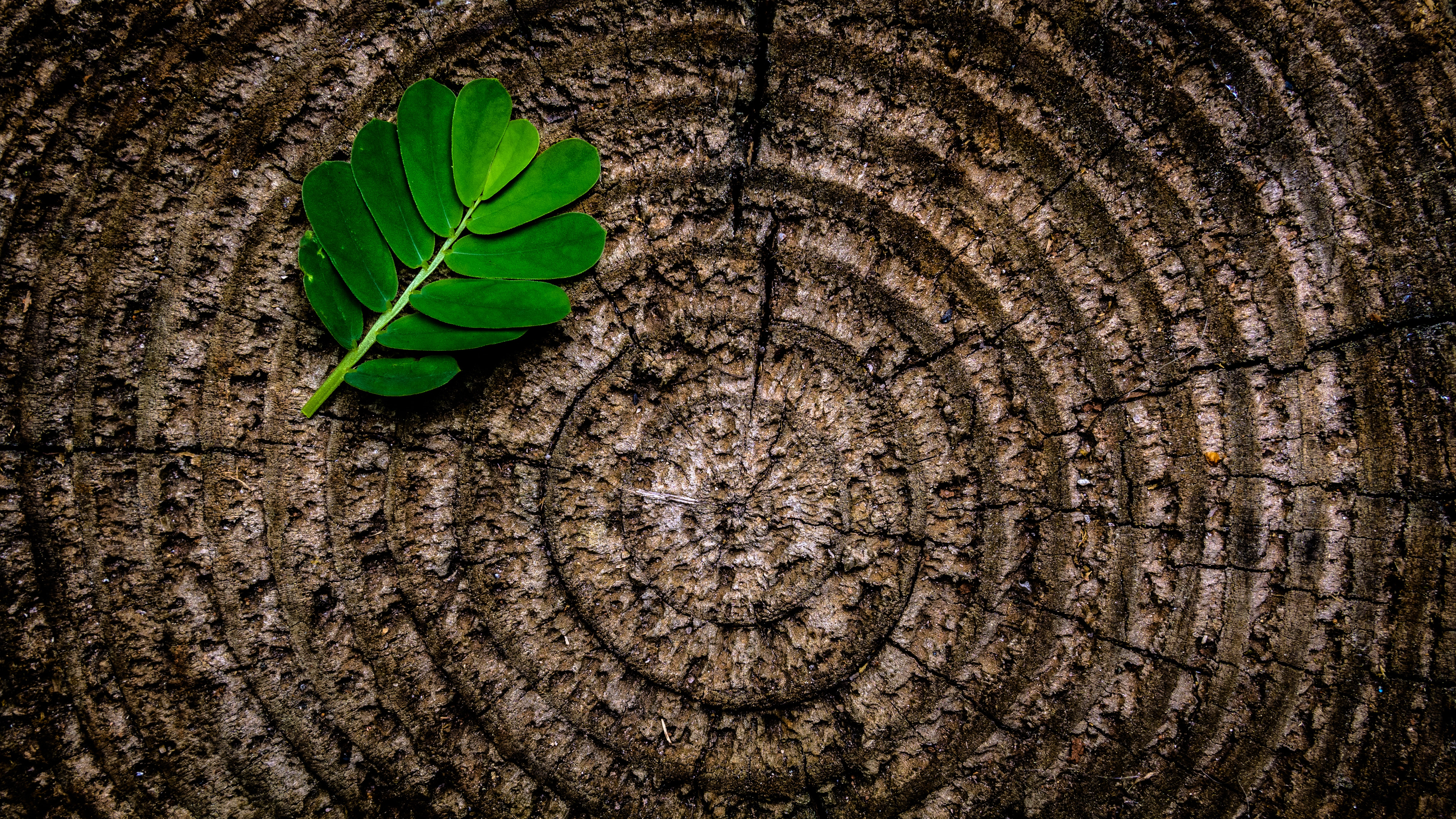 Green leaf plant on brown wooden stump photo