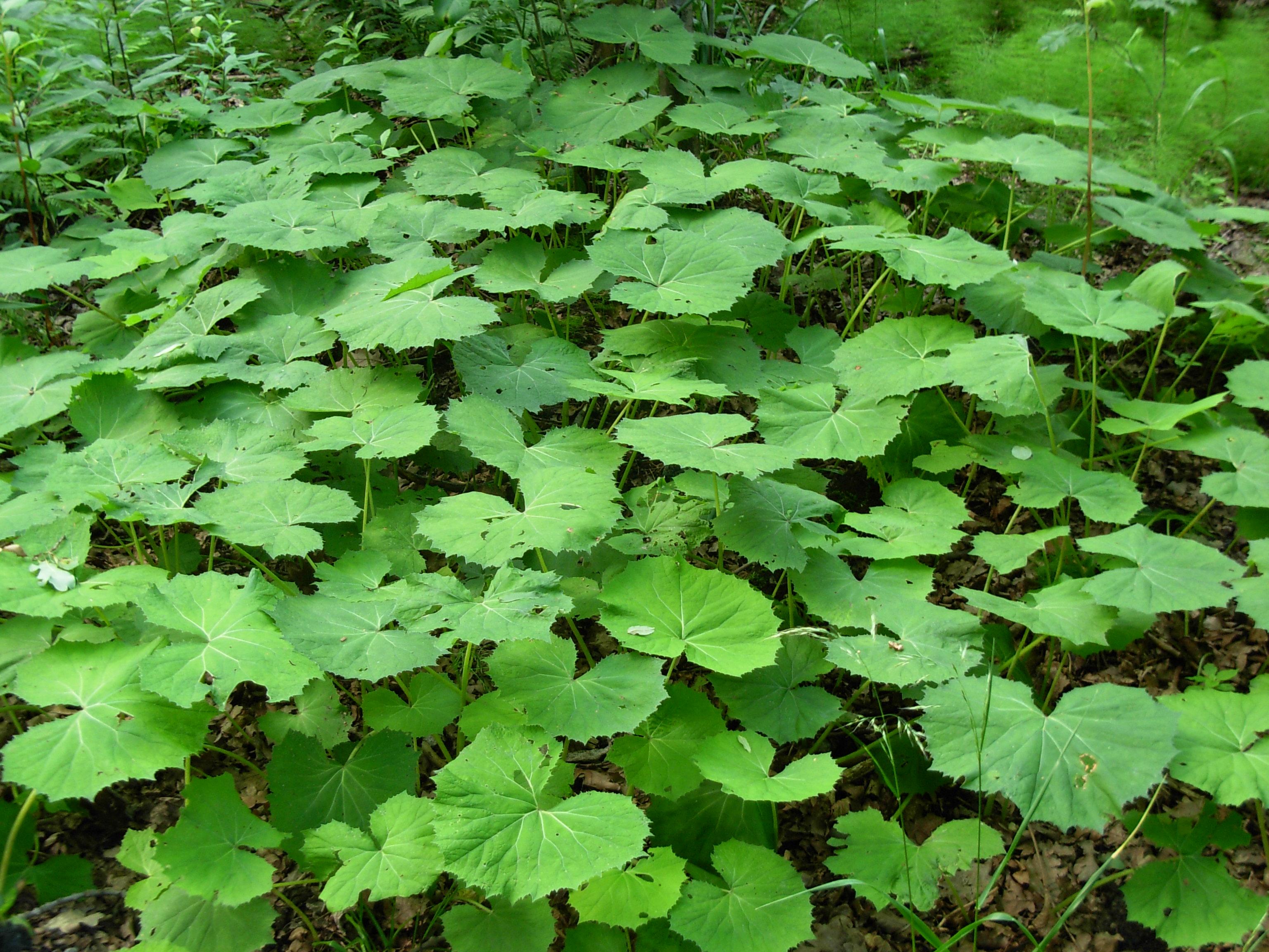 File:Green big leaves plants.JPG - Wikimedia Commons