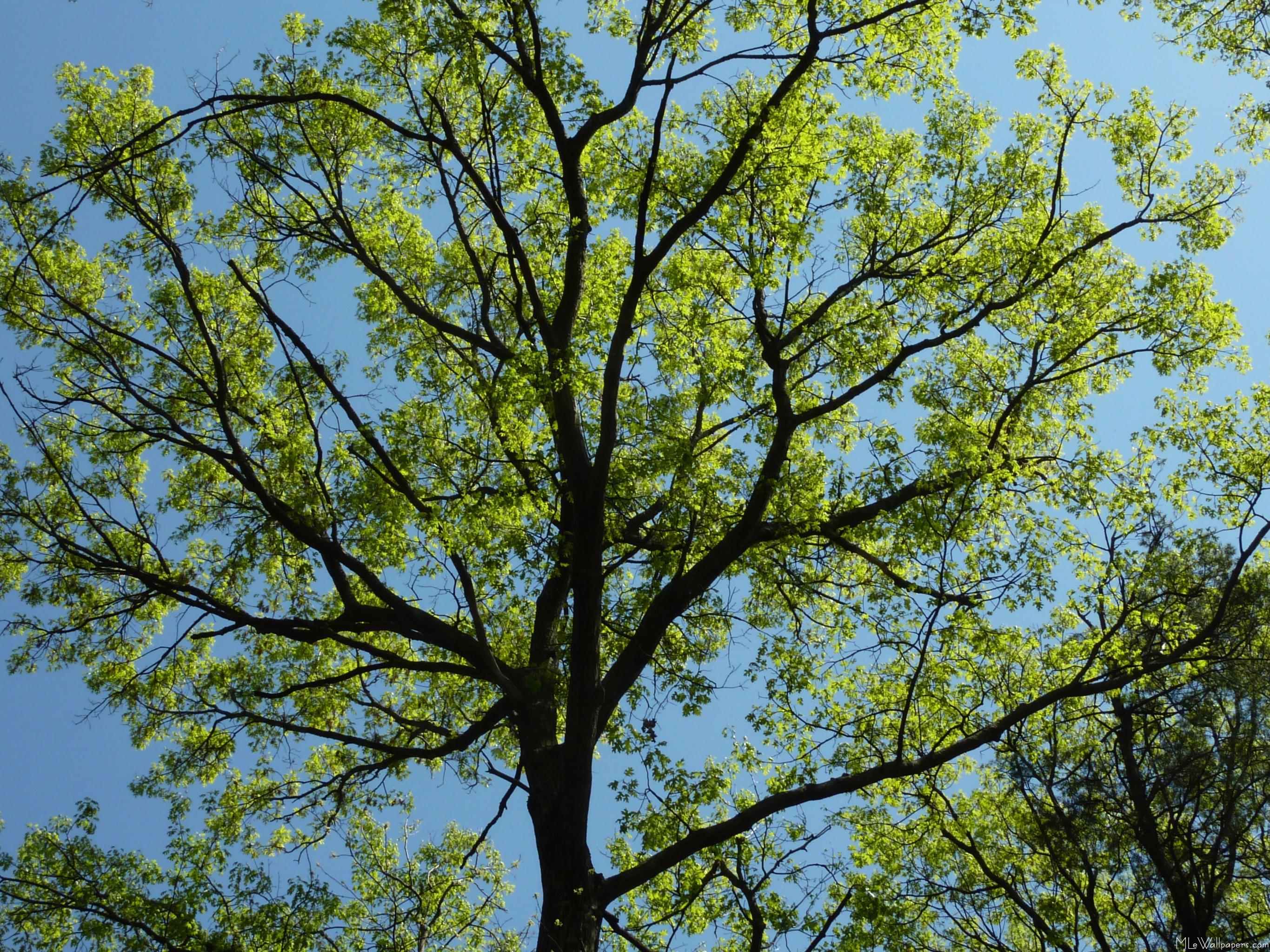 MLeWallpapers.com - Spring Oak Tree