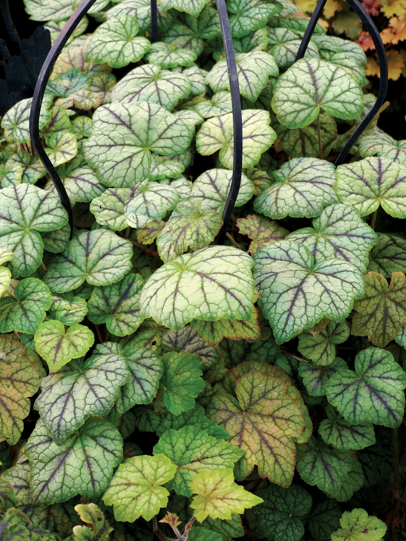 Heucherella 'Glacier Falls' features blue-green leaves and dark markings