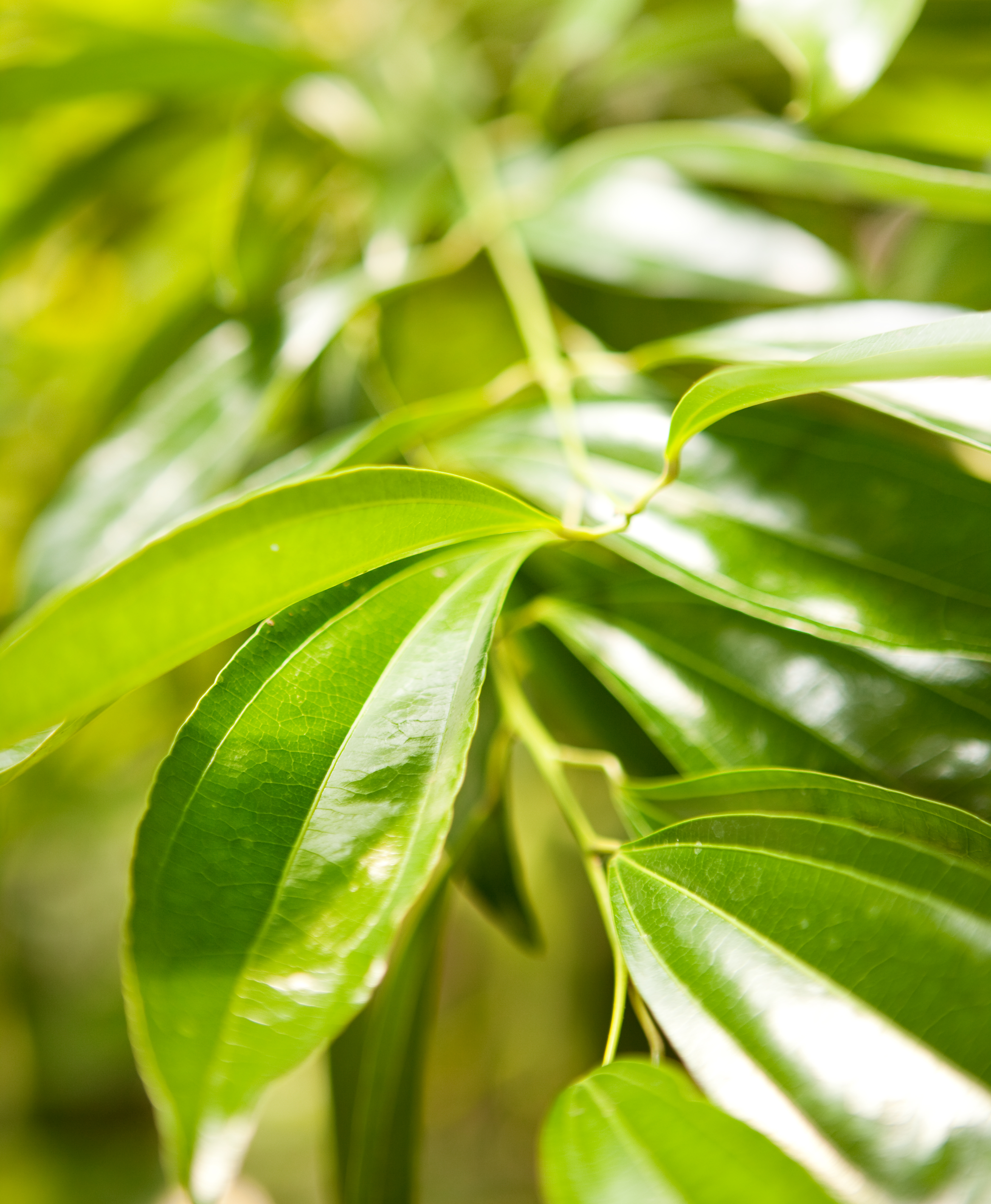 Green Leaves, Fresh, Green, Leaves, Nature, HQ Photo