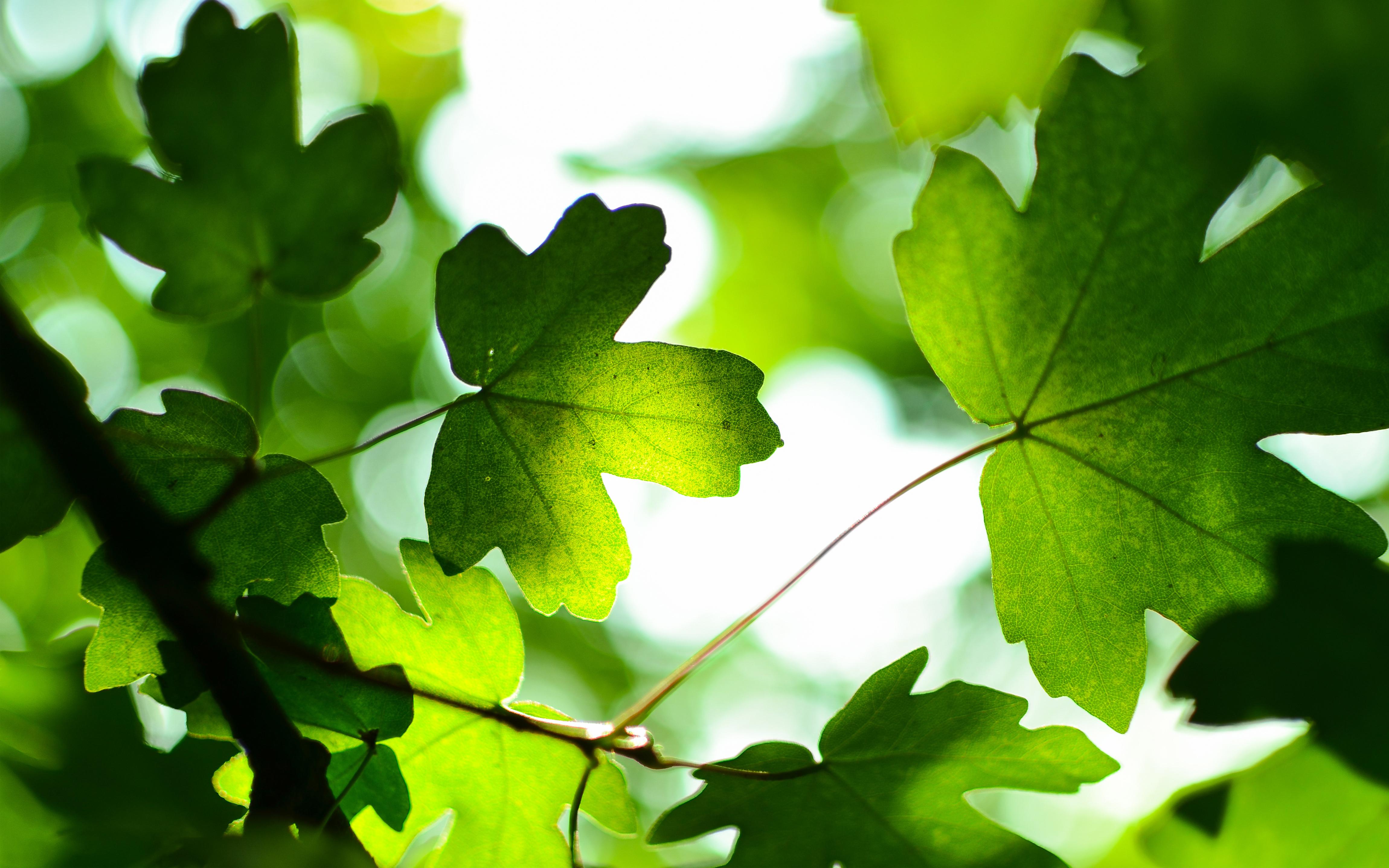 Green Leaves 4K Wallpapers | HD Wallpapers | ID #19188