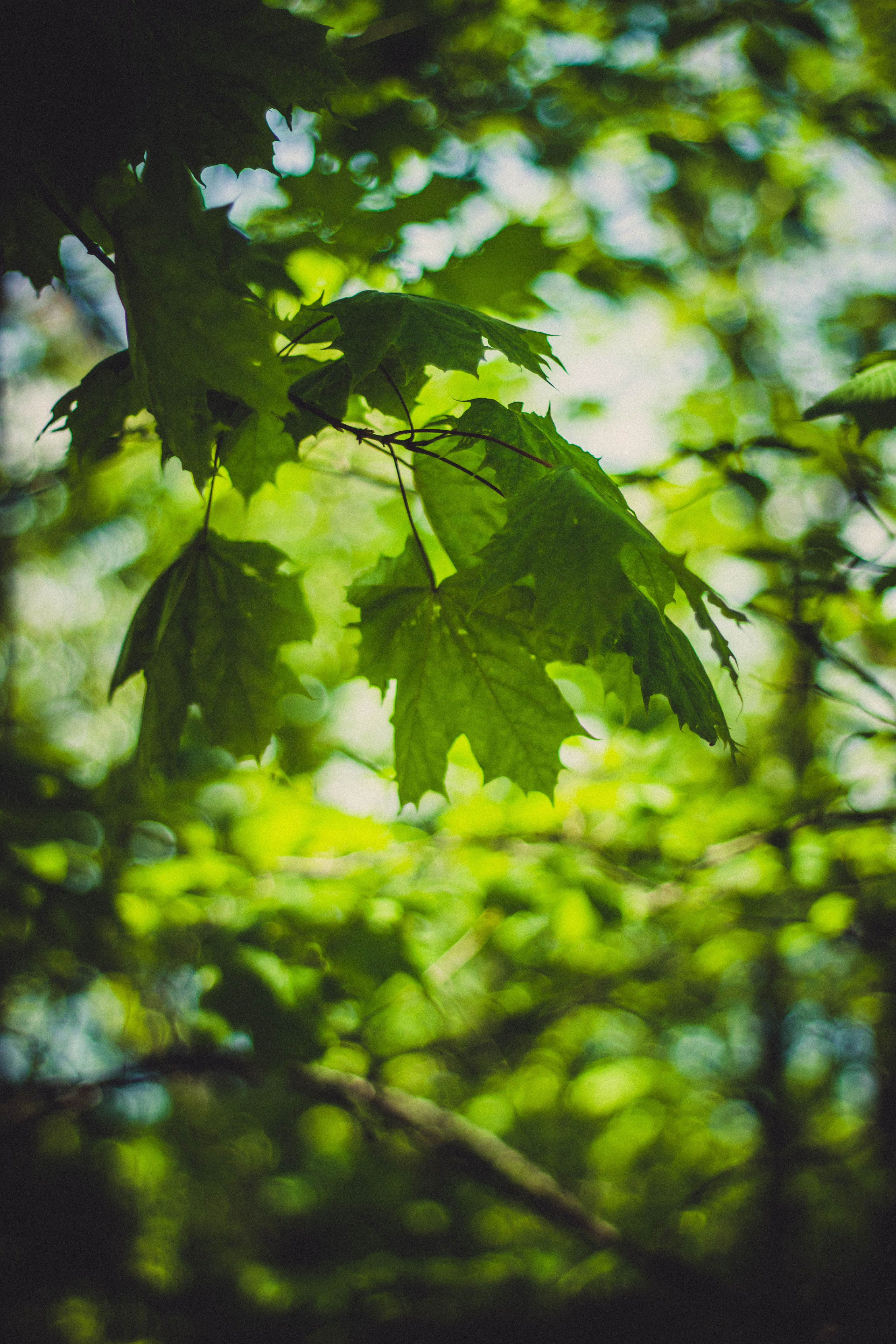 Green lobed leaves on branch photo