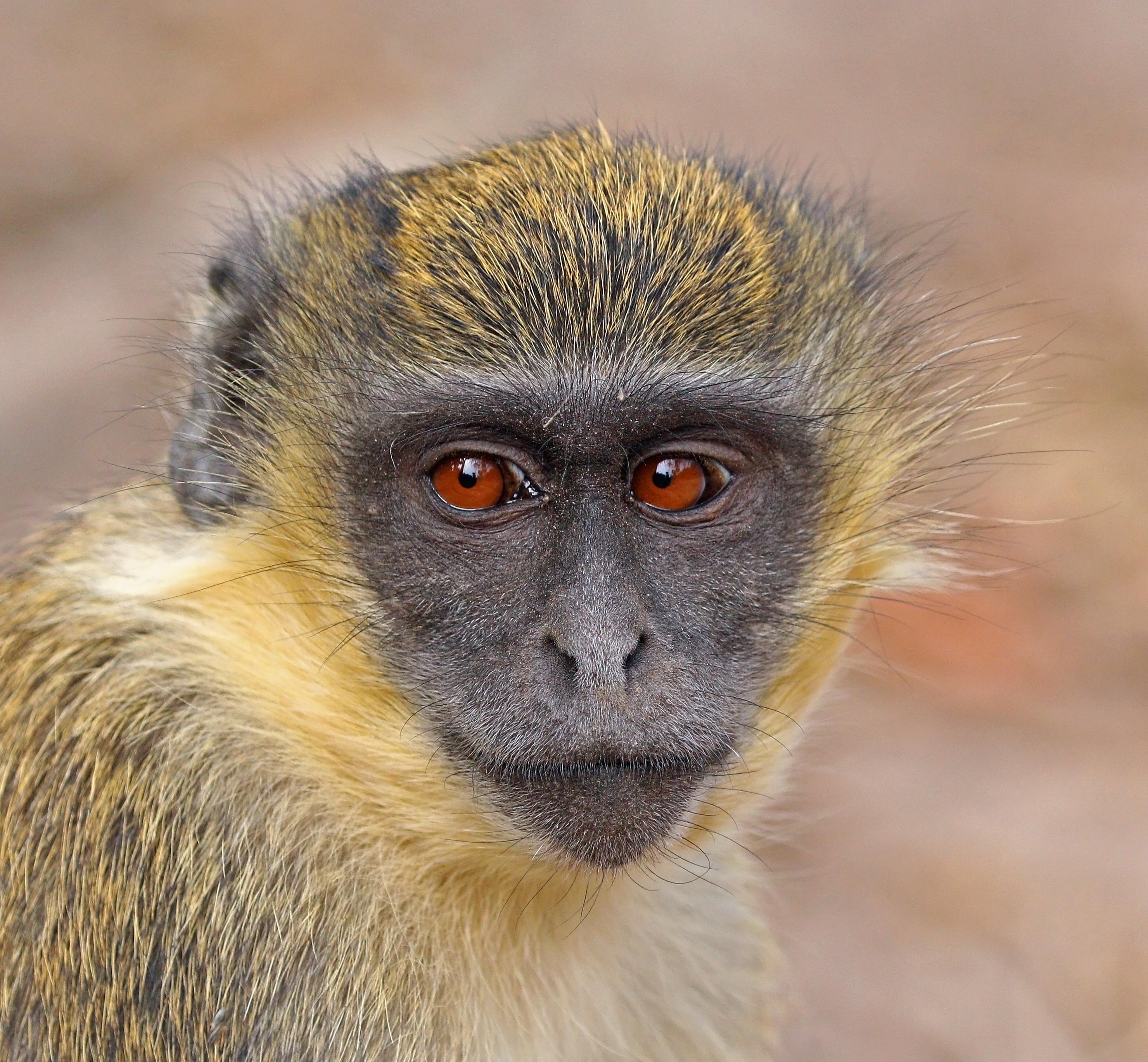 File:Green monkey (Chlorocebus sabaeus) juvenile head.jpg ...