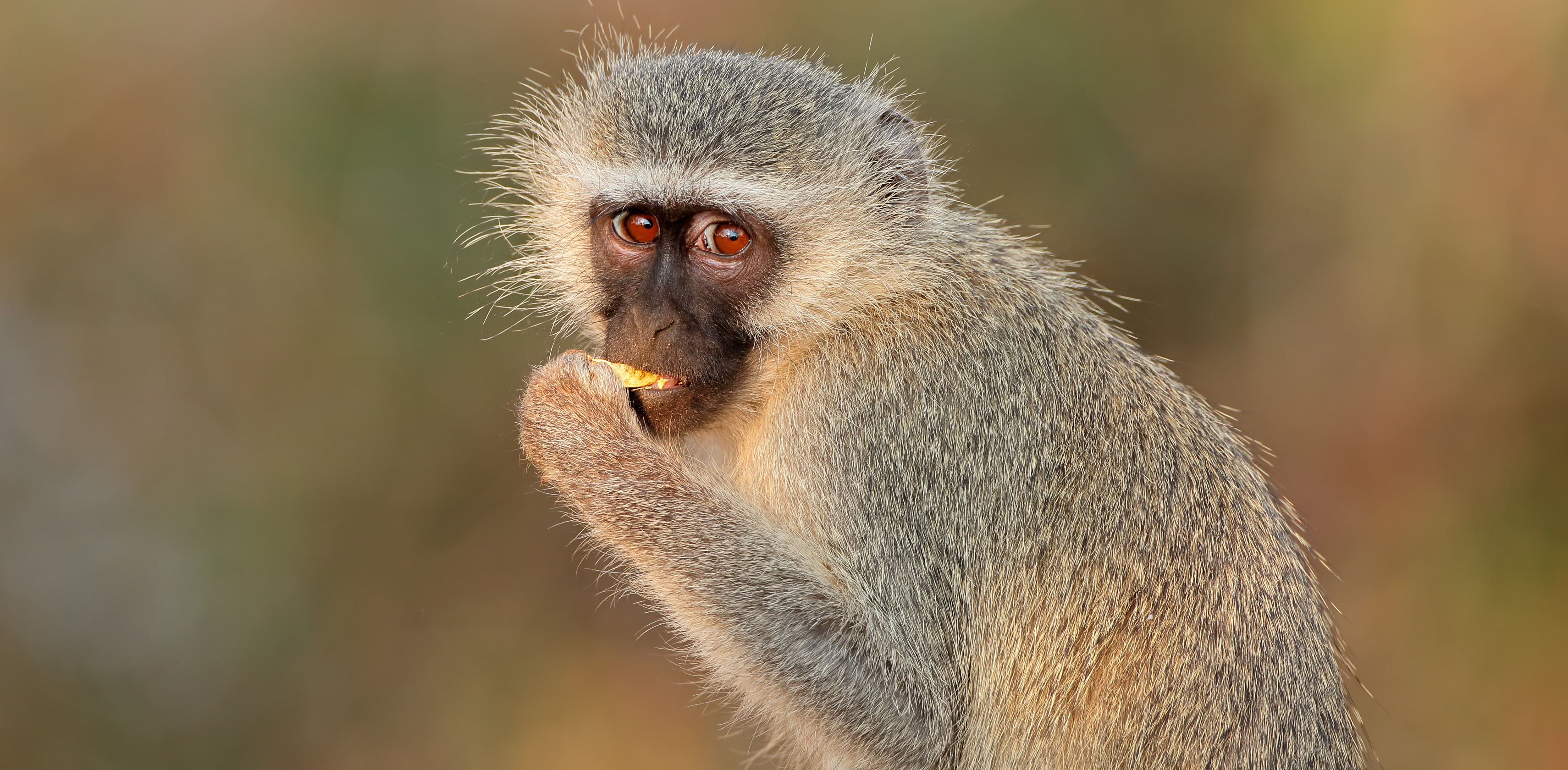 Vervet Monkey (Green Monkey)