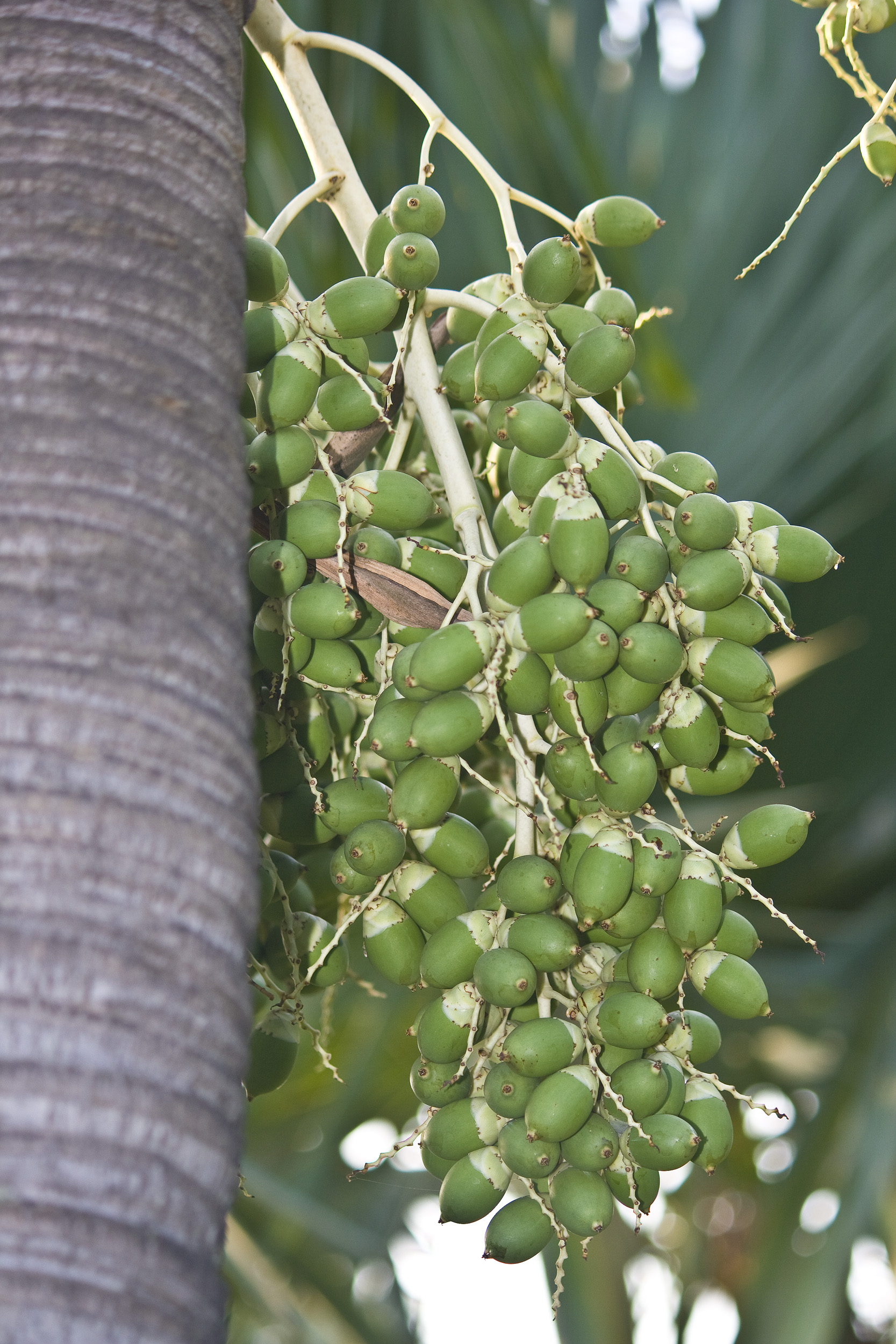 Green palm fruit photo