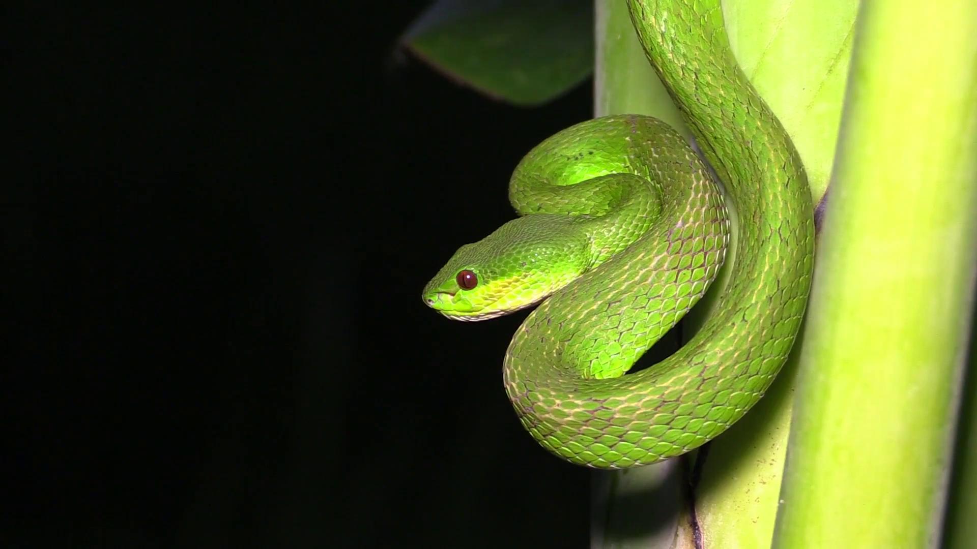 Free Photo Green Pit Viper Animal Serpent Poison Free