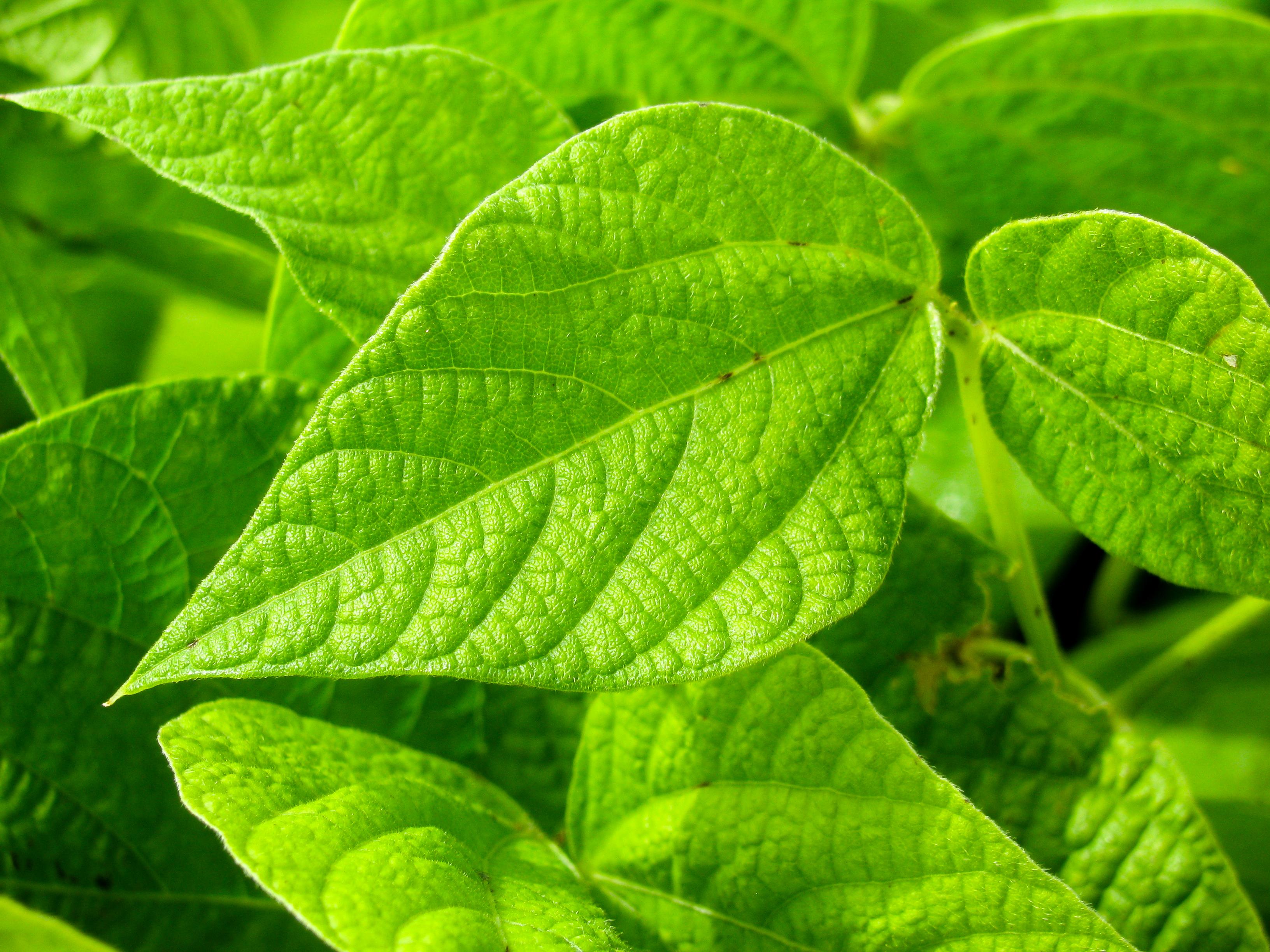 Green Plant Leaves, Background, Foliage, Green, Leaf, HQ Photo