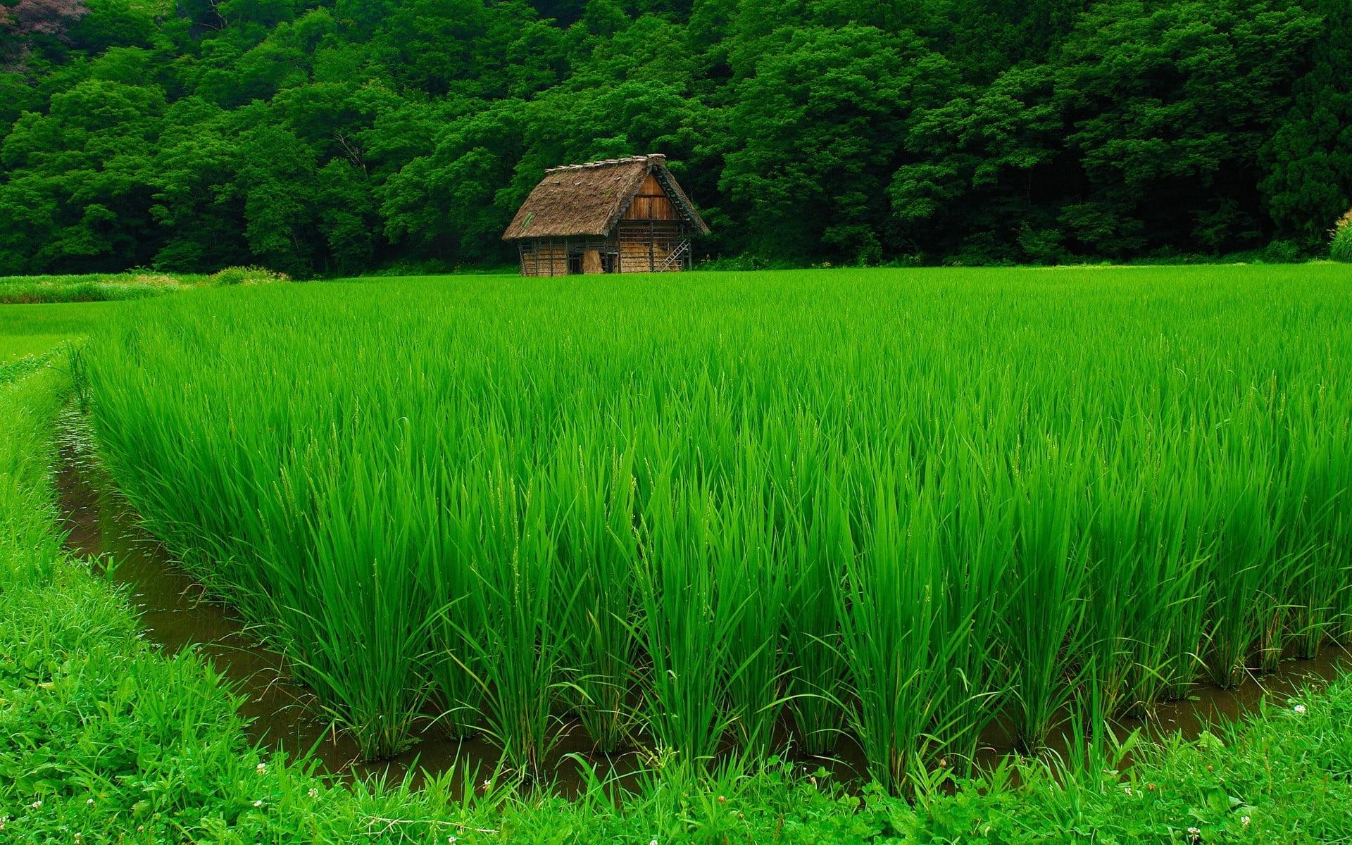 Green rice field HD wallpaper | Wallpaper Flare
