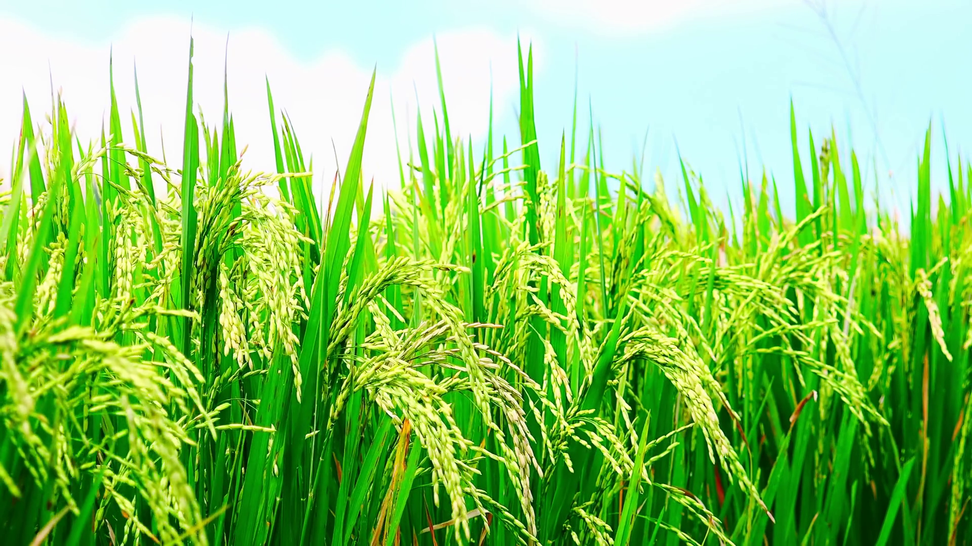 Close up video of ripening green rice ears on field under blue sky ...